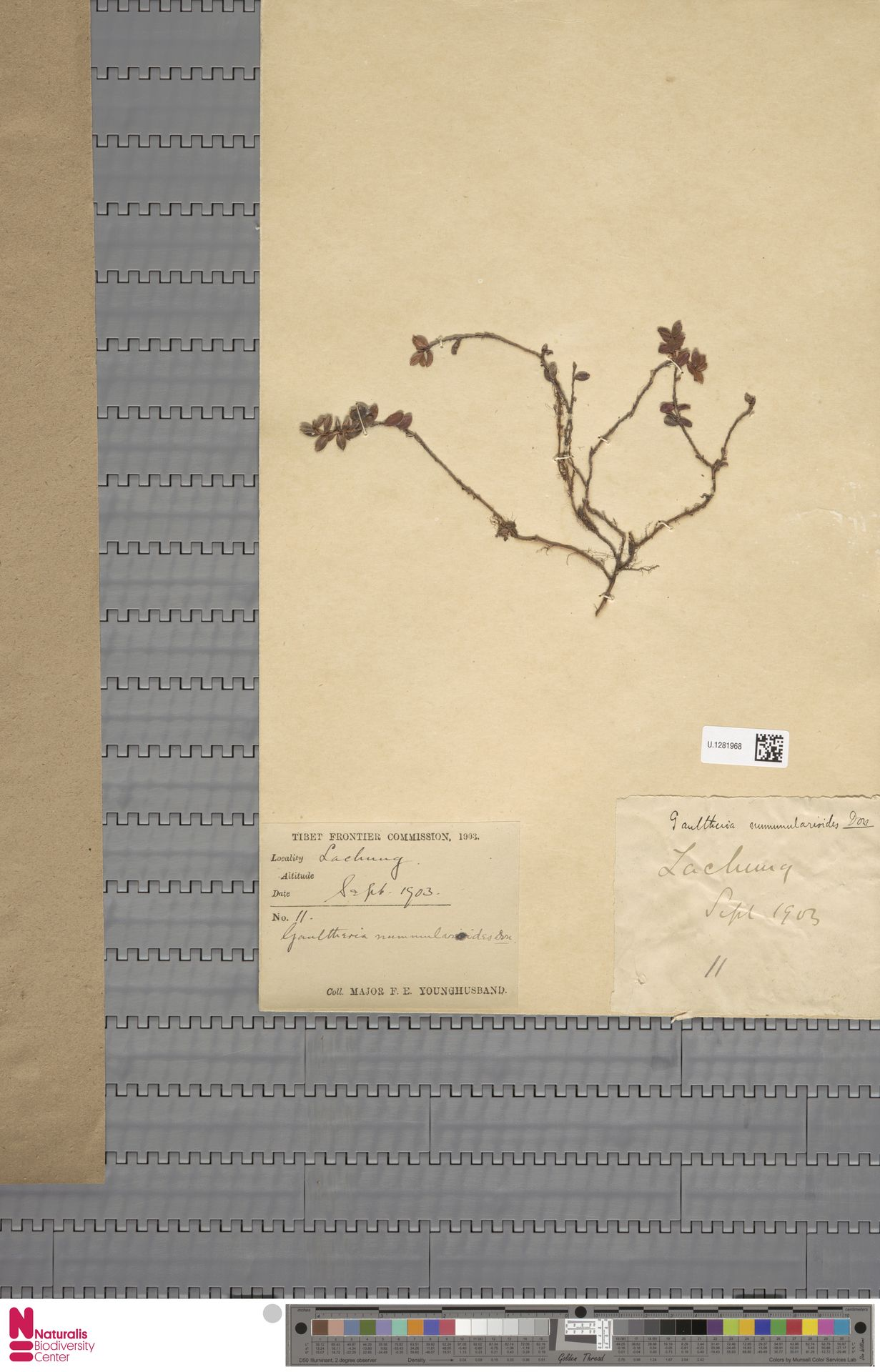 U.1281968 | Gaultheria nummularioides G.Don