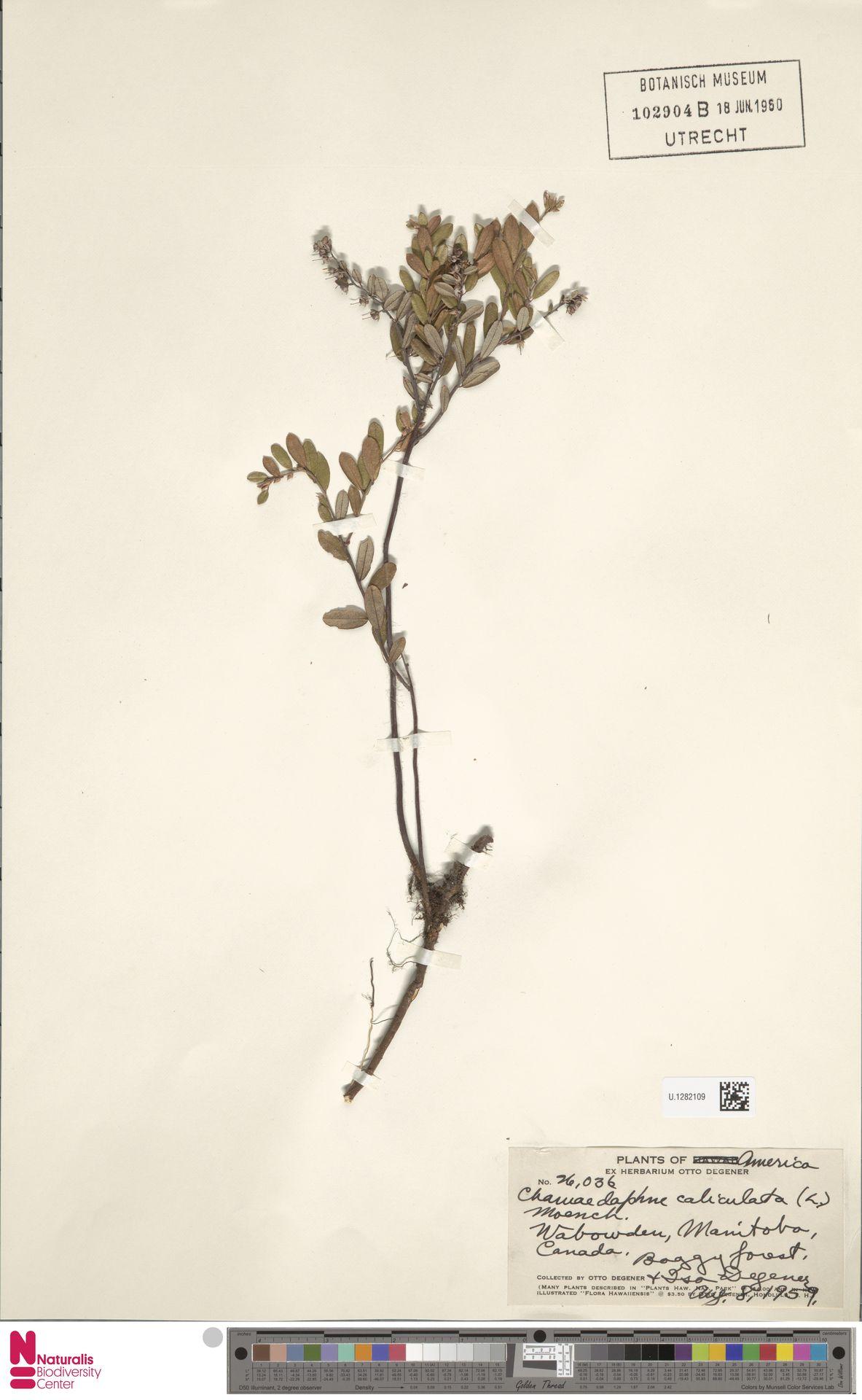 U.1282109 | Chamaedaphne calyculata (L.) Moench