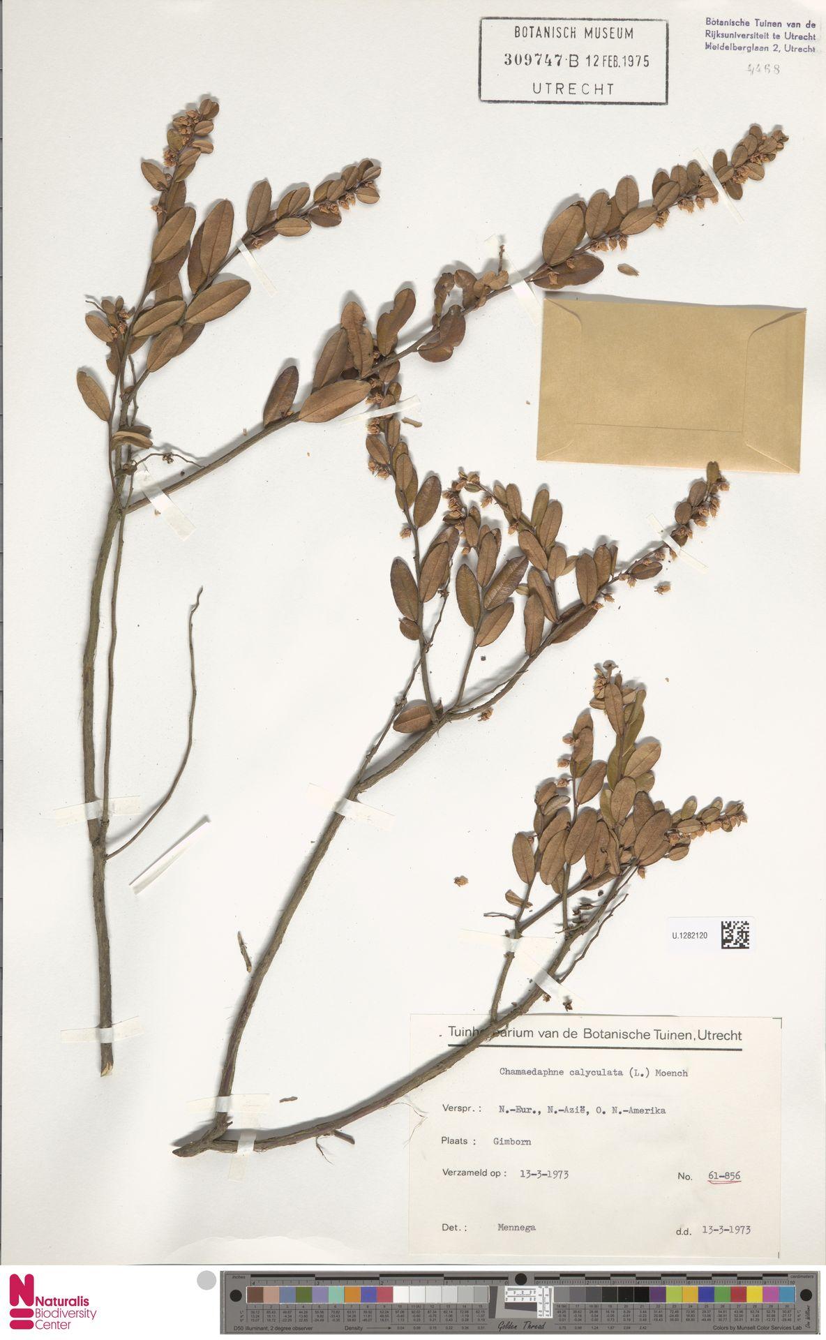 U.1282120 | Chamaedaphne calyculata (L.) Moench