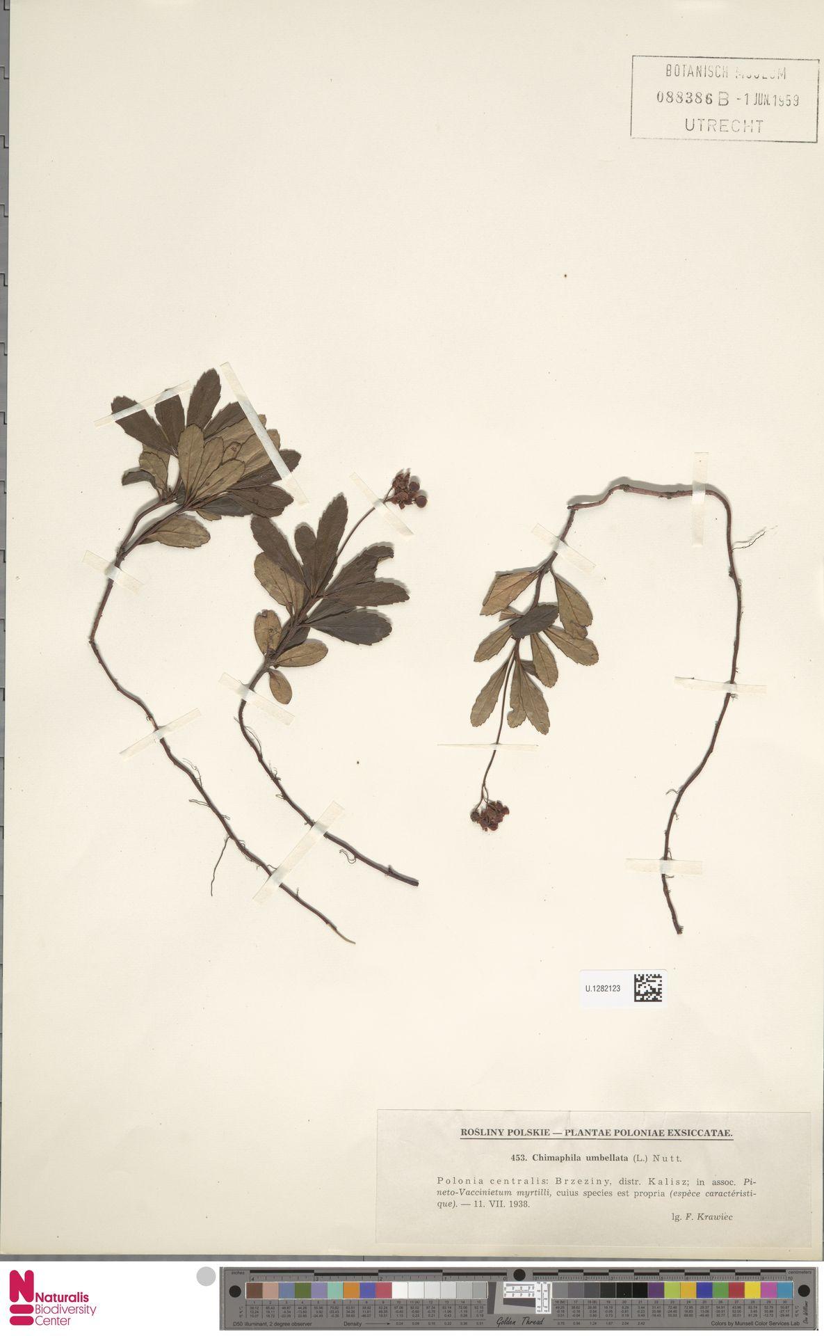 U.1282123 | Chimaphila umbellata (L.) W.C.Barton