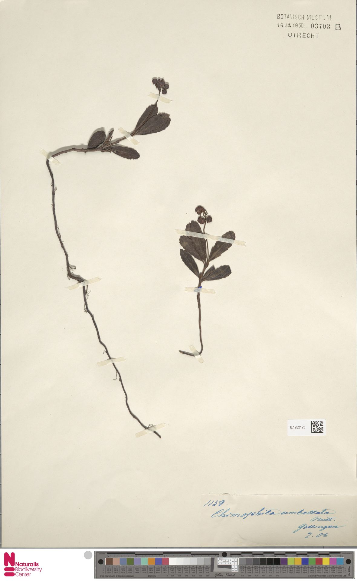 U.1282125 | Chimaphila umbellata (L.) W.C.Barton
