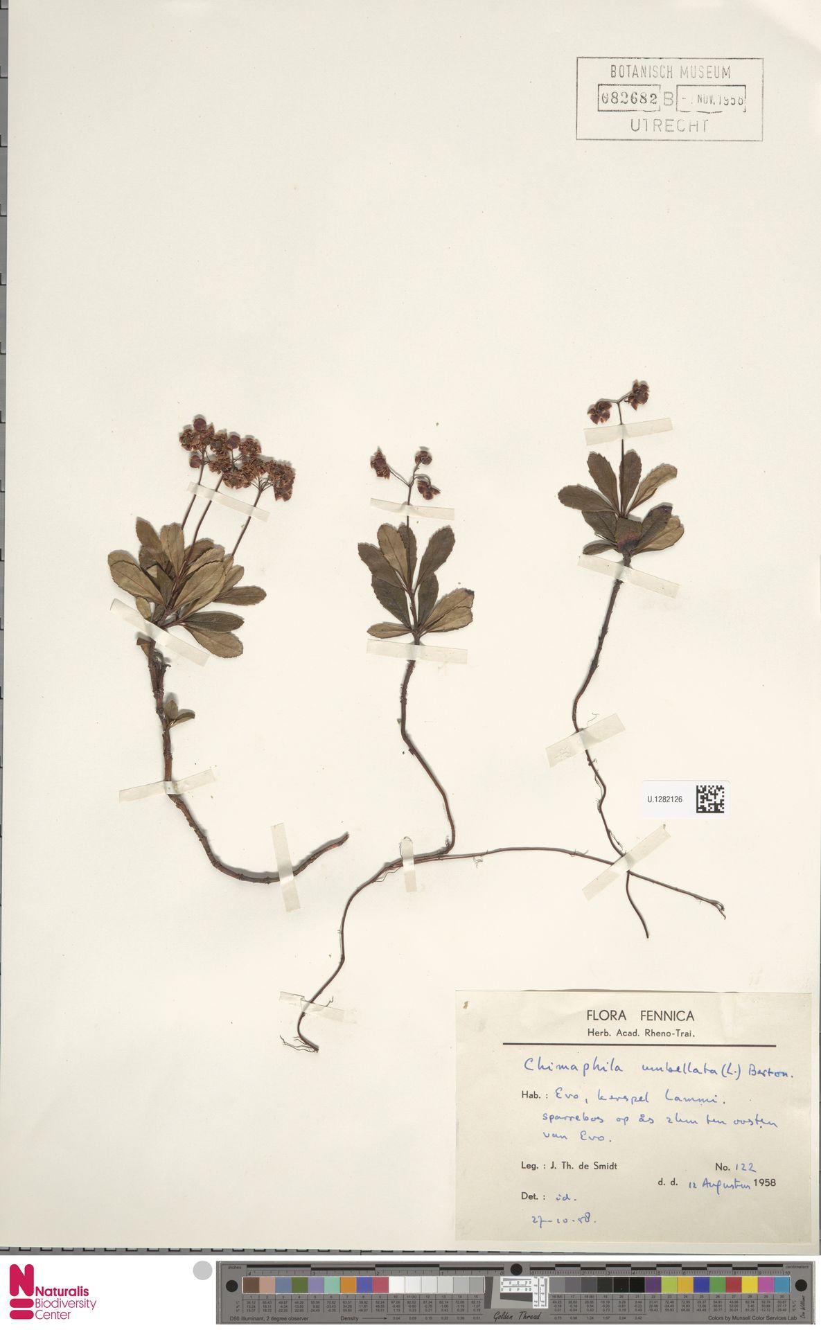 U.1282126 | Chimaphila umbellata (L.) W.C.Barton
