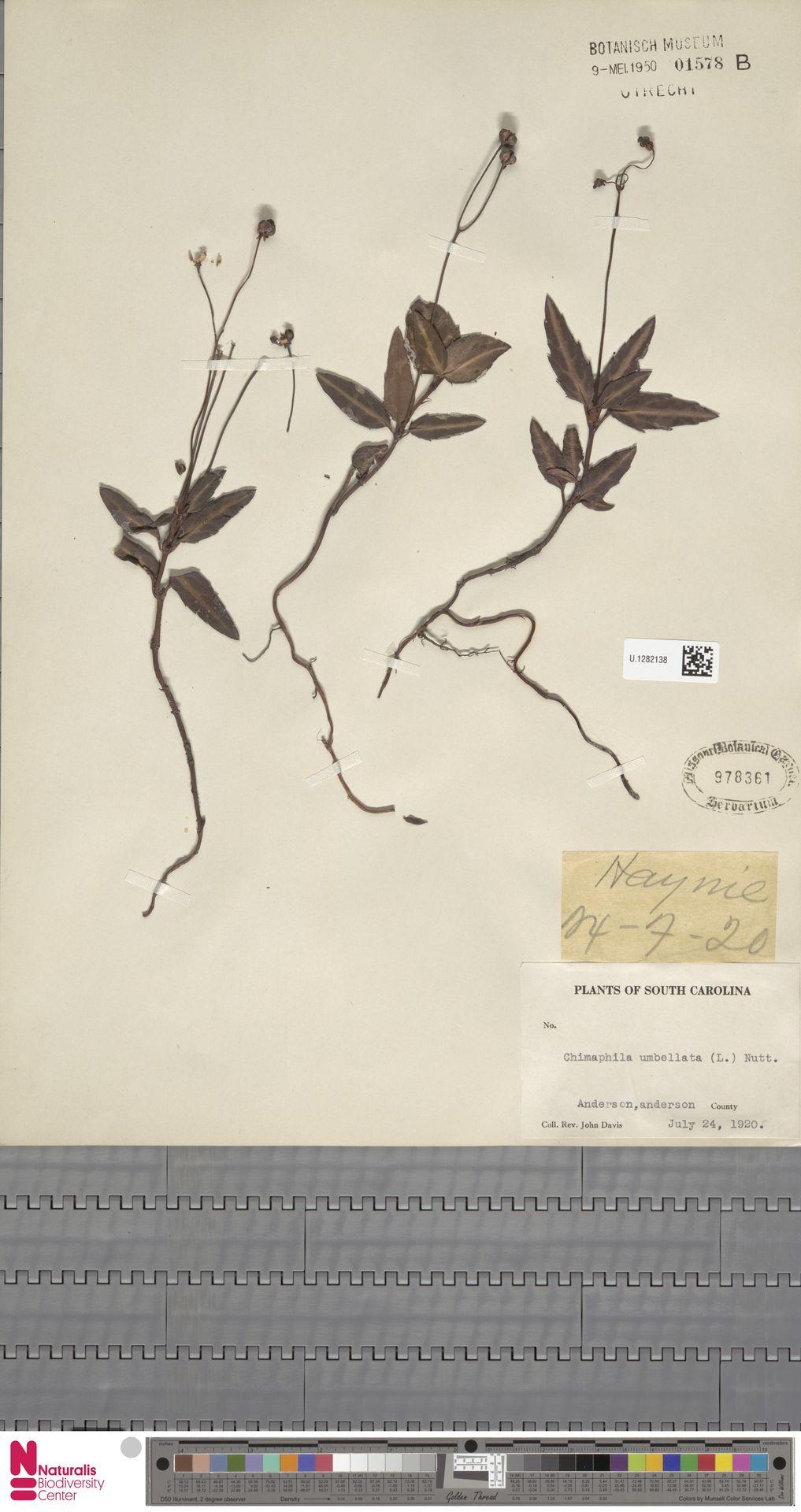 U.1282138 | Chimaphila umbellata (L.) W.C.Barton