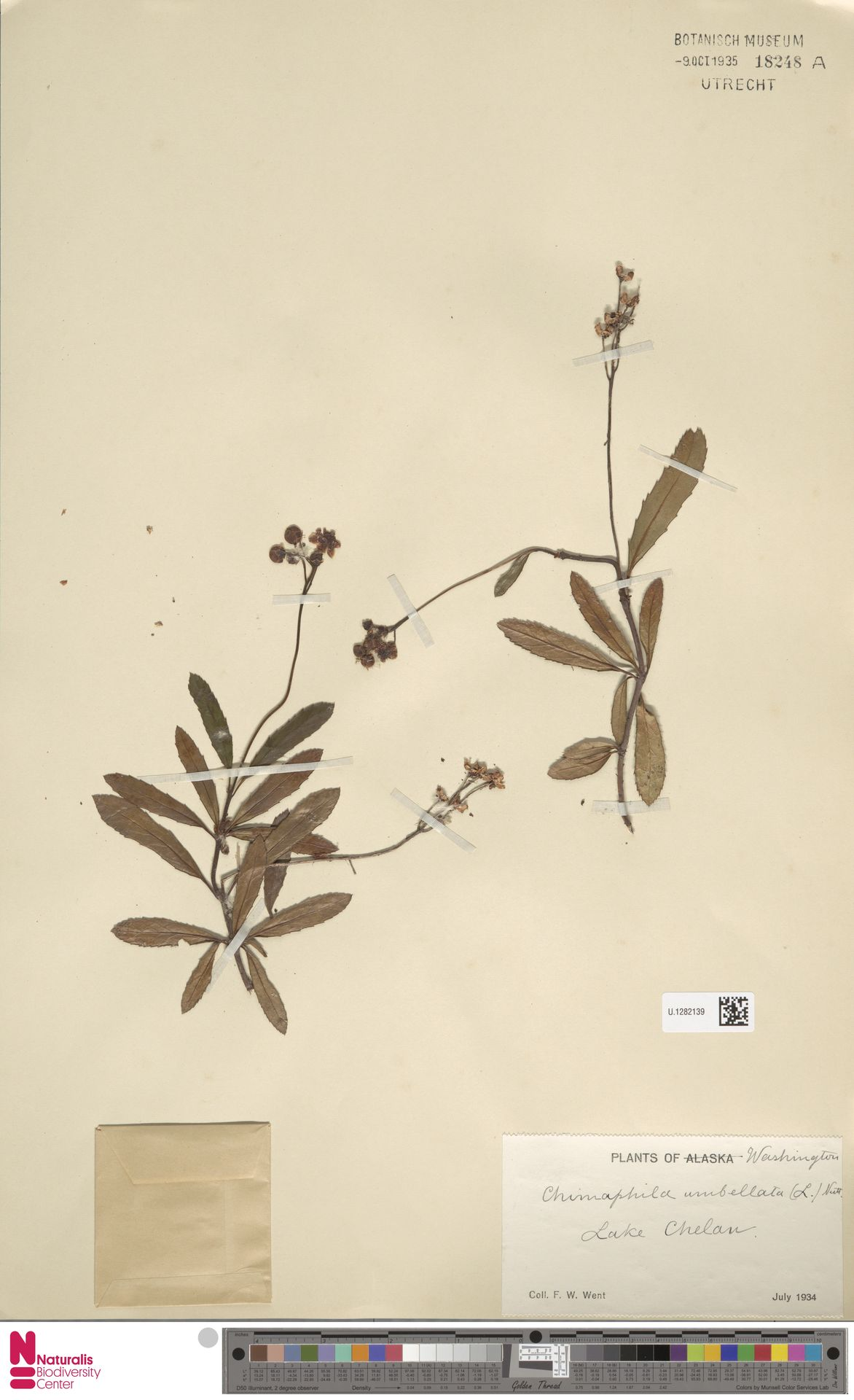 U.1282139 | Chimaphila umbellata (L.) W.C.Barton