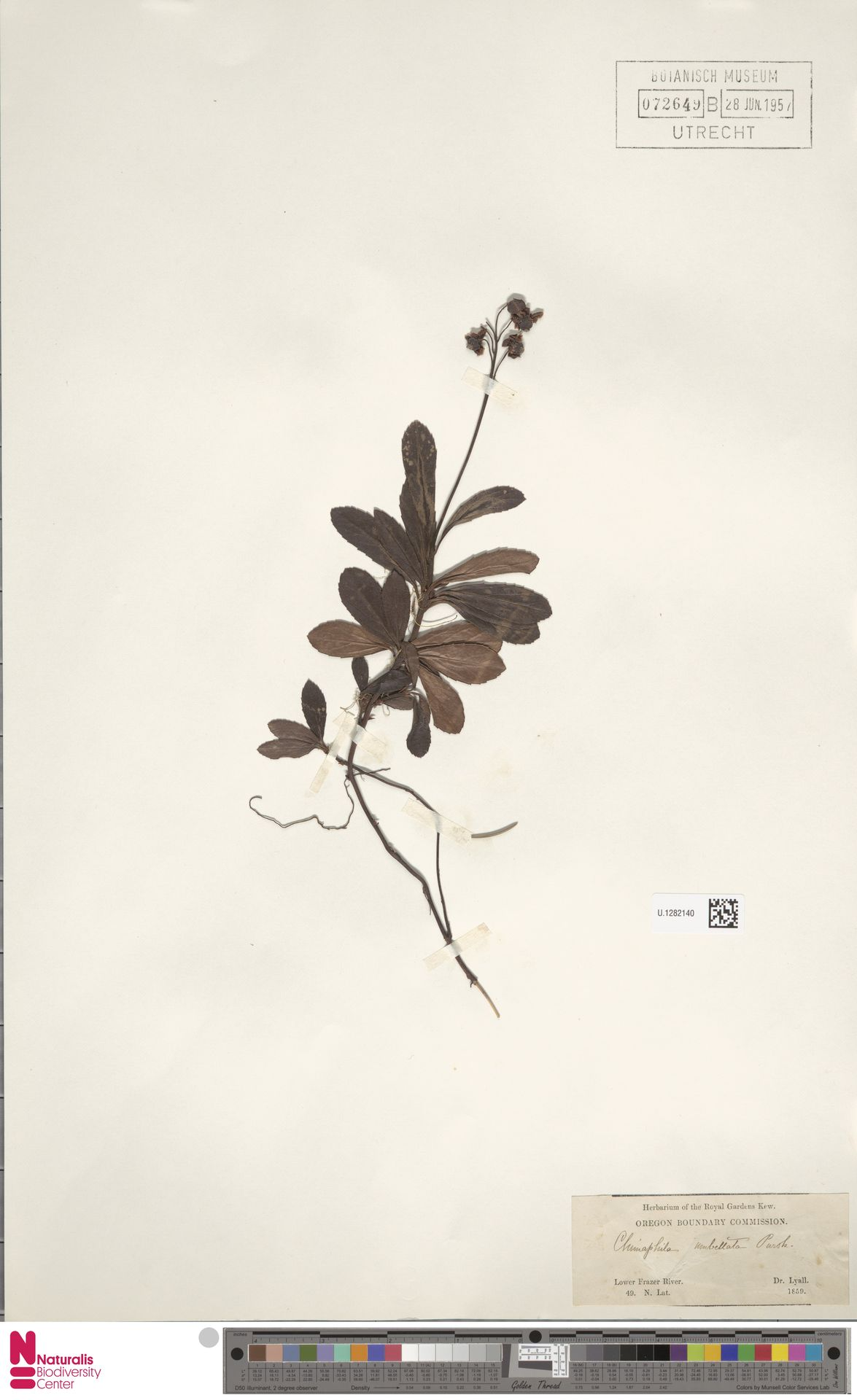 U.1282140 | Chimaphila umbellata (L.) W.C.Barton