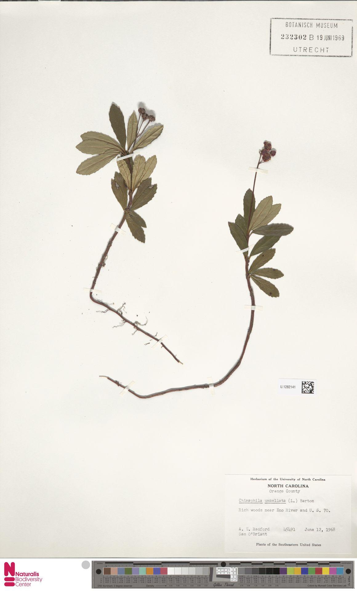 U.1282141 | Chimaphila umbellata (L.) W.C.Barton
