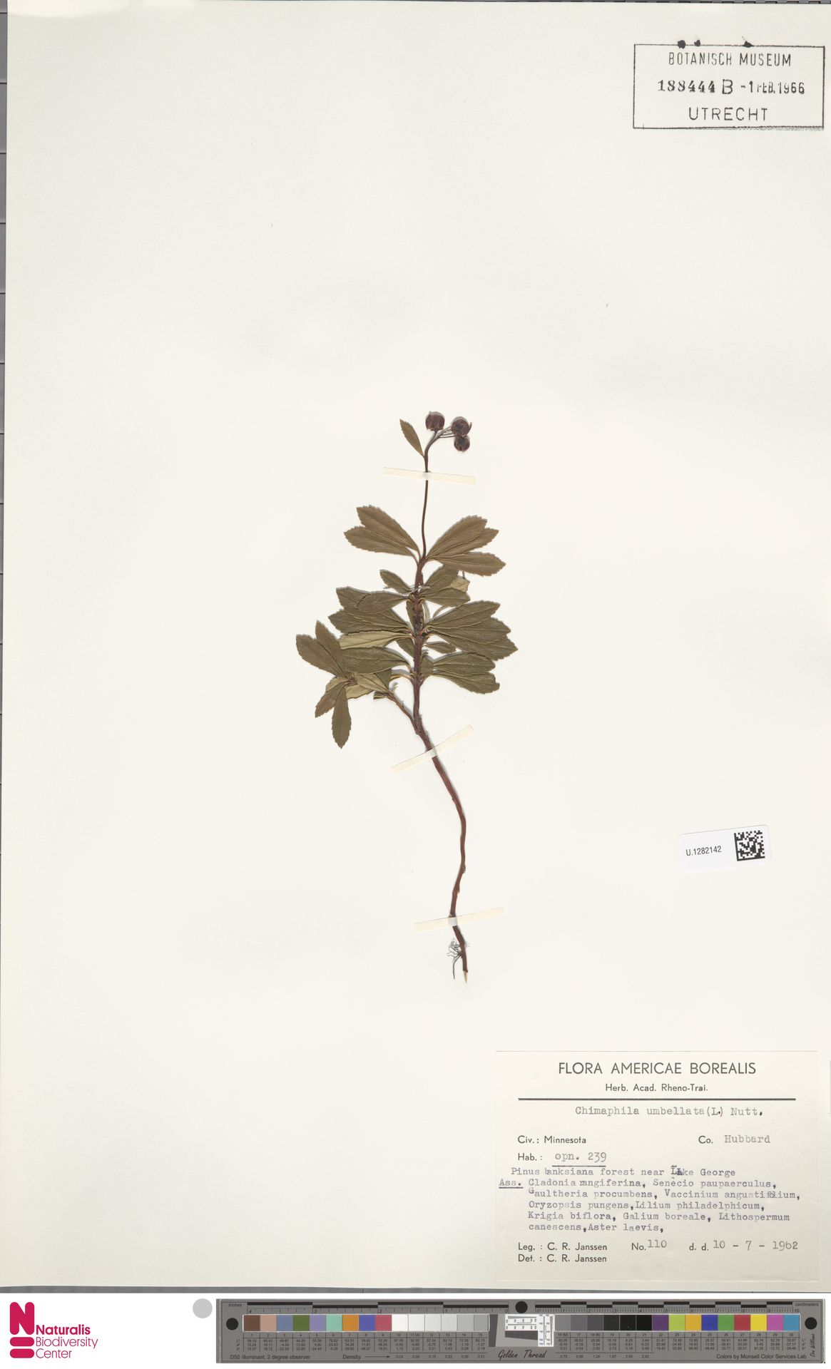 U.1282142 | Chimaphila umbellata (L.) W.C.Barton