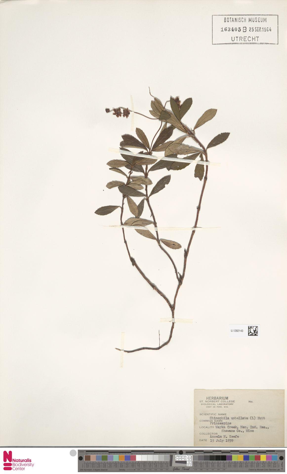 U.1282143 | Chimaphila umbellata (L.) W.C.Barton