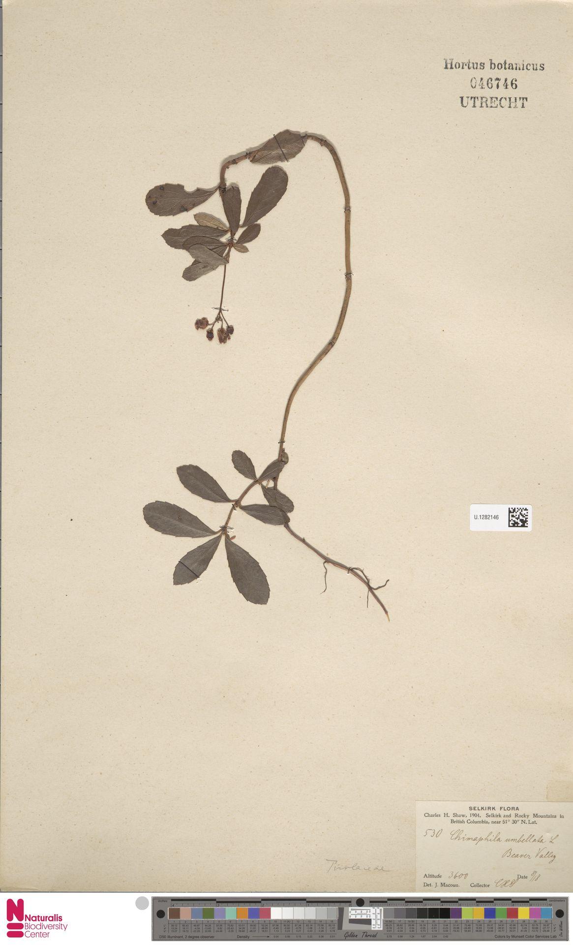 U.1282146 | Chimaphila umbellata (L.) W.C.Barton