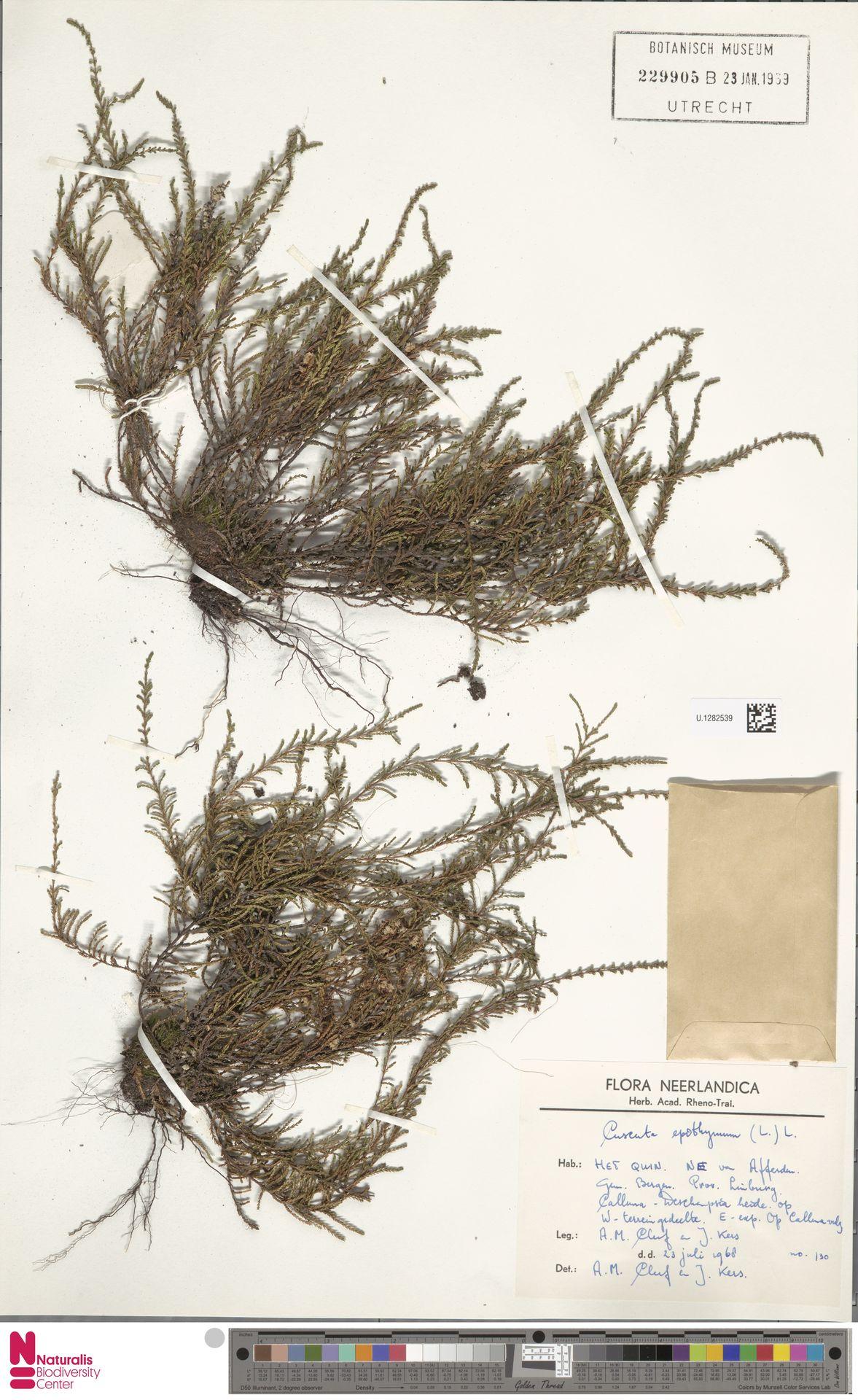 U.1282539   Cuscuta epithymum (L.) L.