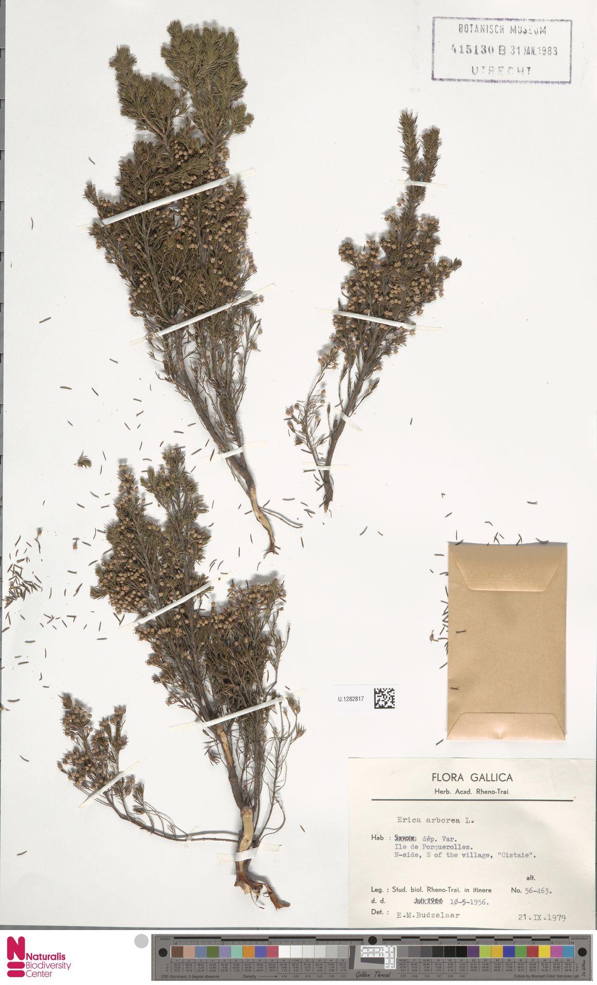 U.1282817 | Erica arborea L.