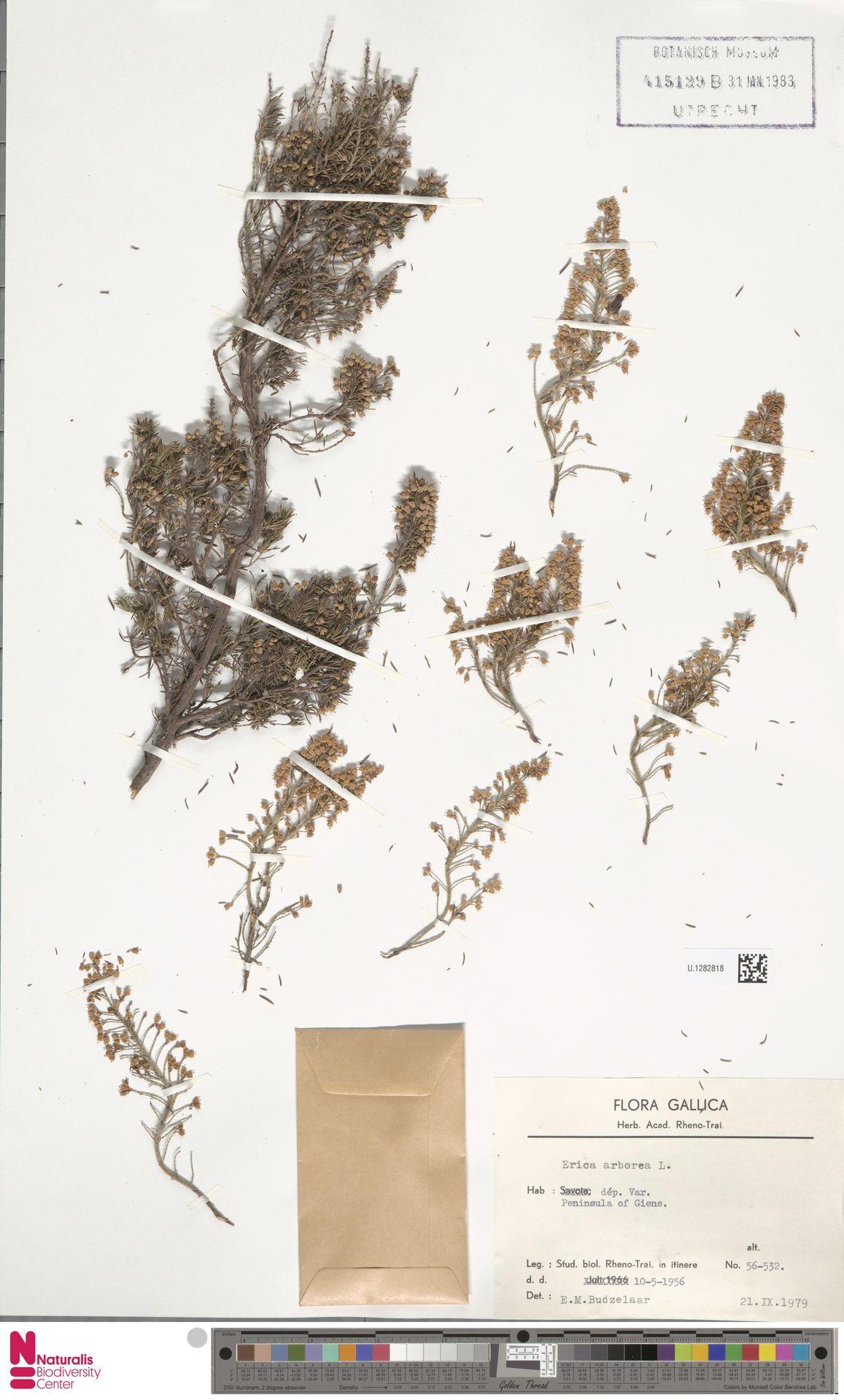 U.1282818 | Erica arborea L.