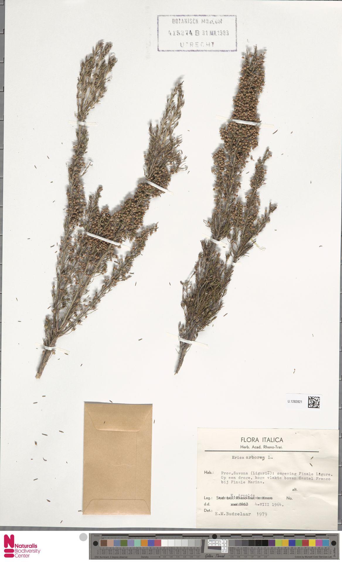 U.1282821 | Erica arborea L.