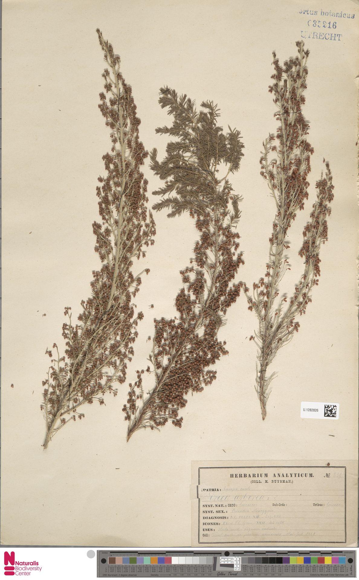 U.1282826 | Erica arborea L.