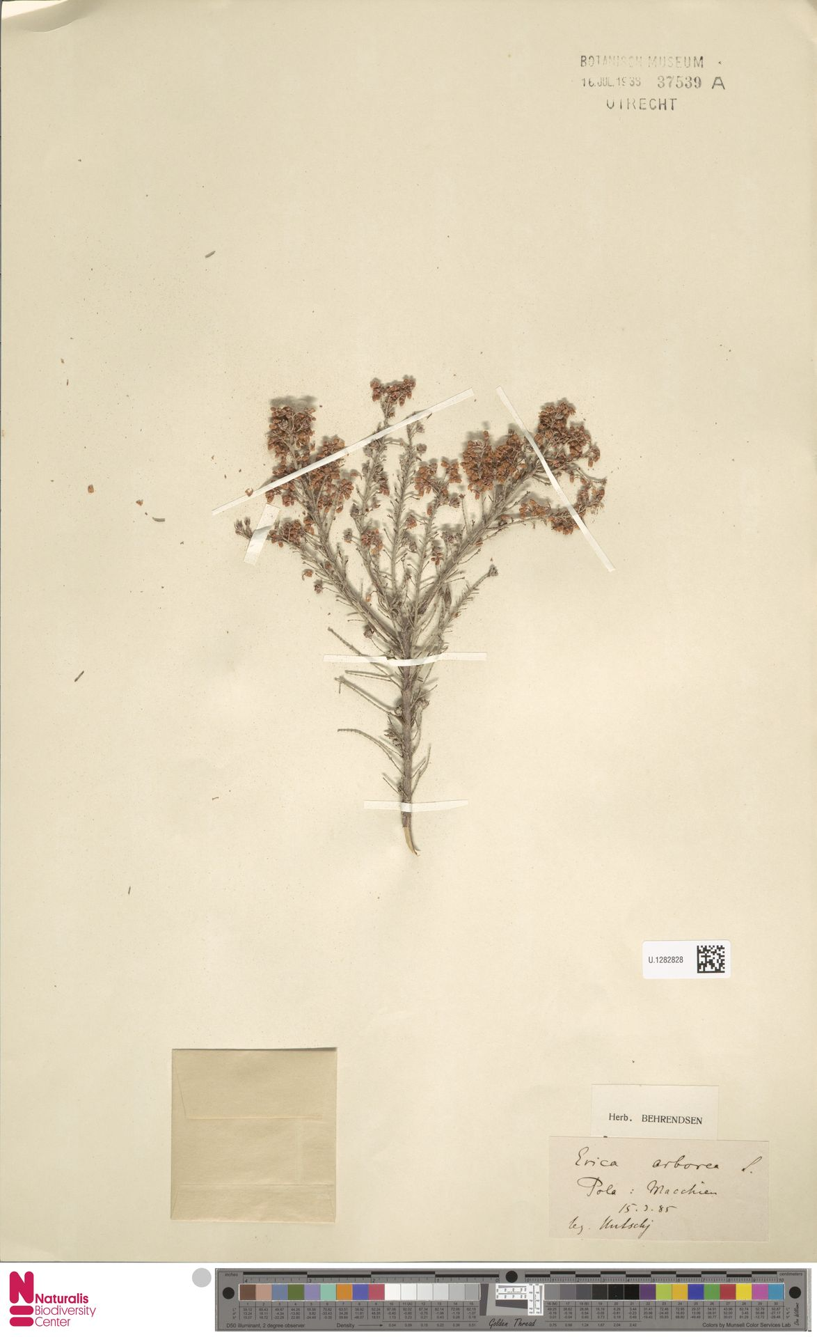 U.1282828 | Erica arborea L.