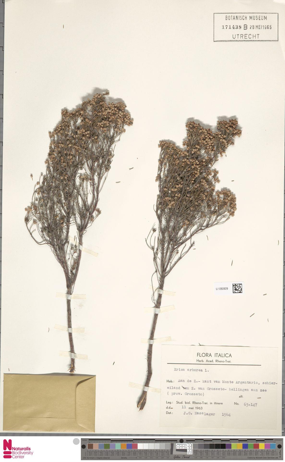 U.1282829 | Erica arborea L.