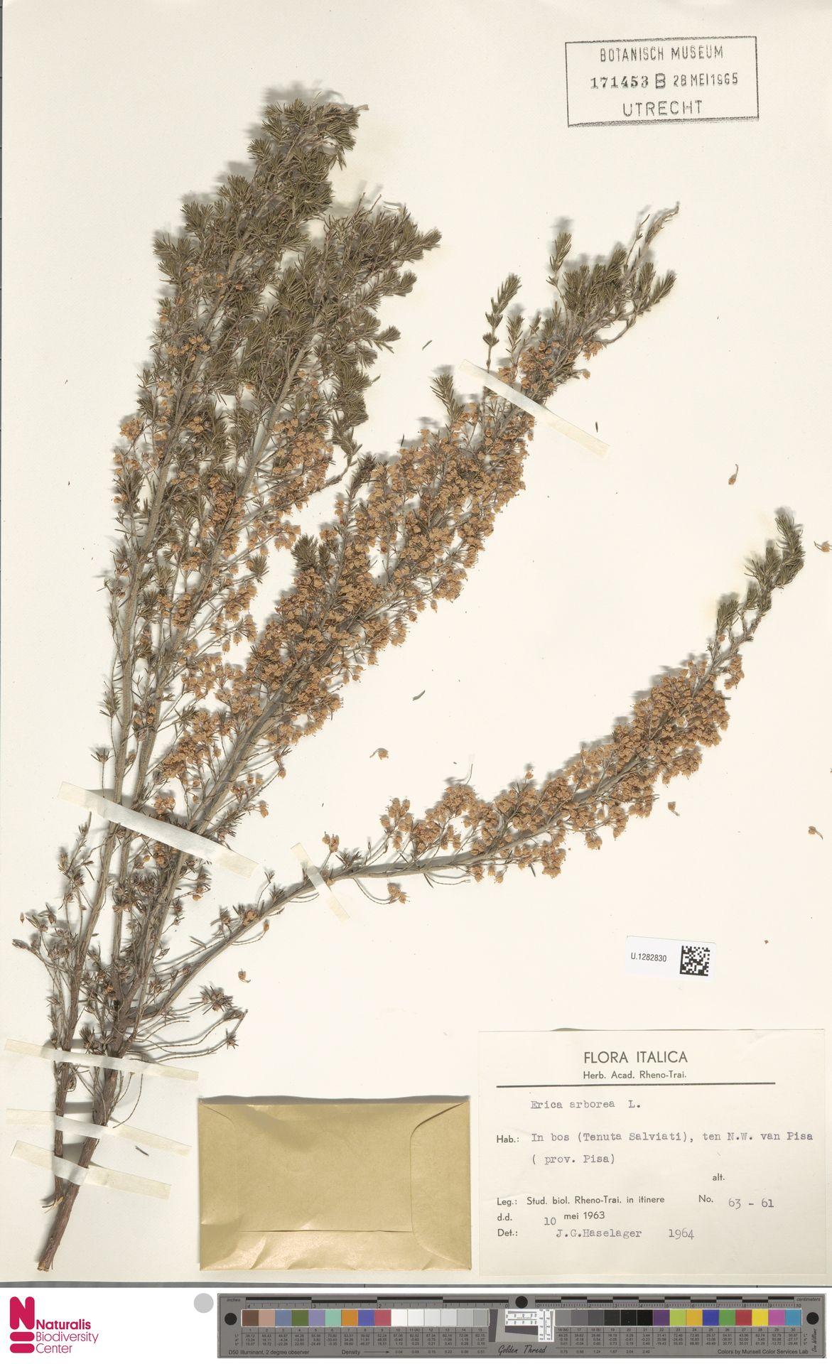 U.1282830 | Erica arborea L.