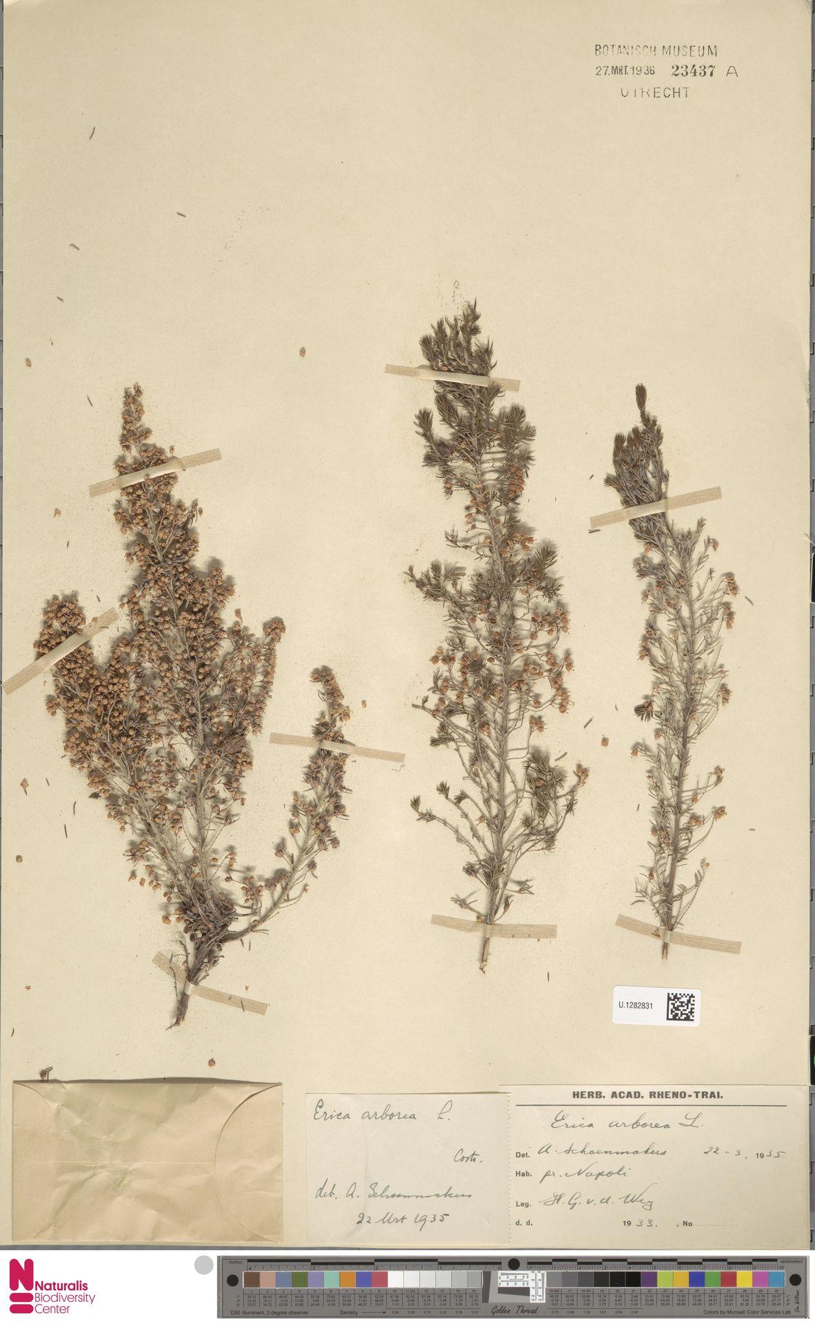 U.1282831 | Erica arborea L.