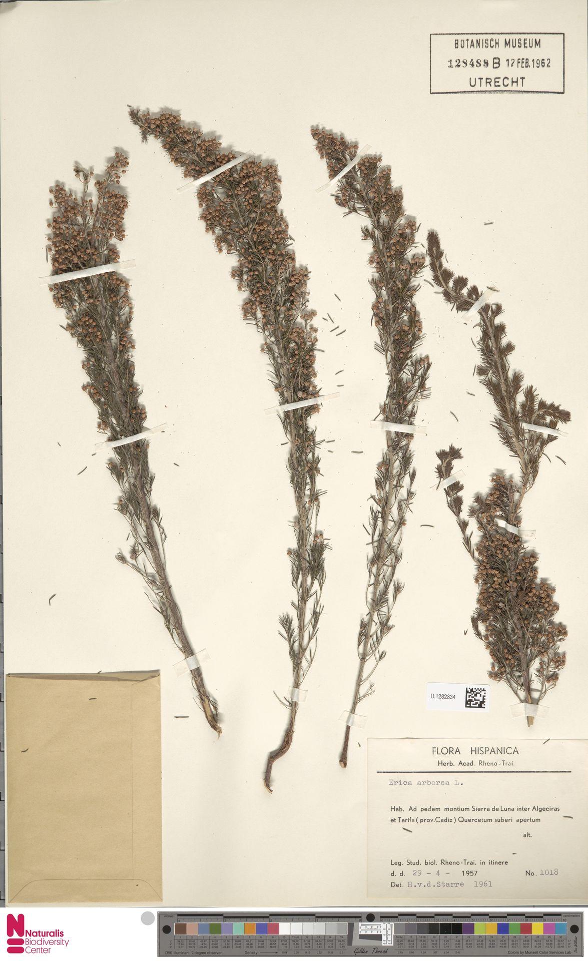 U.1282834 | Erica arborea L.