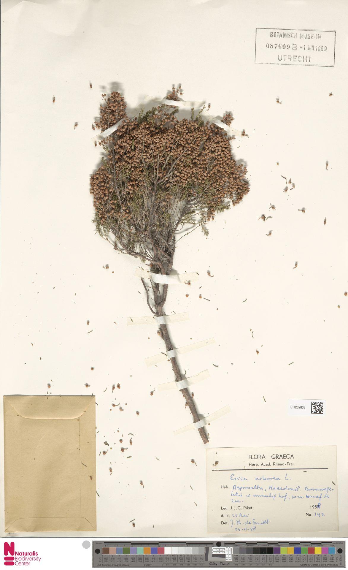 U.1282838 | Erica arborea L.