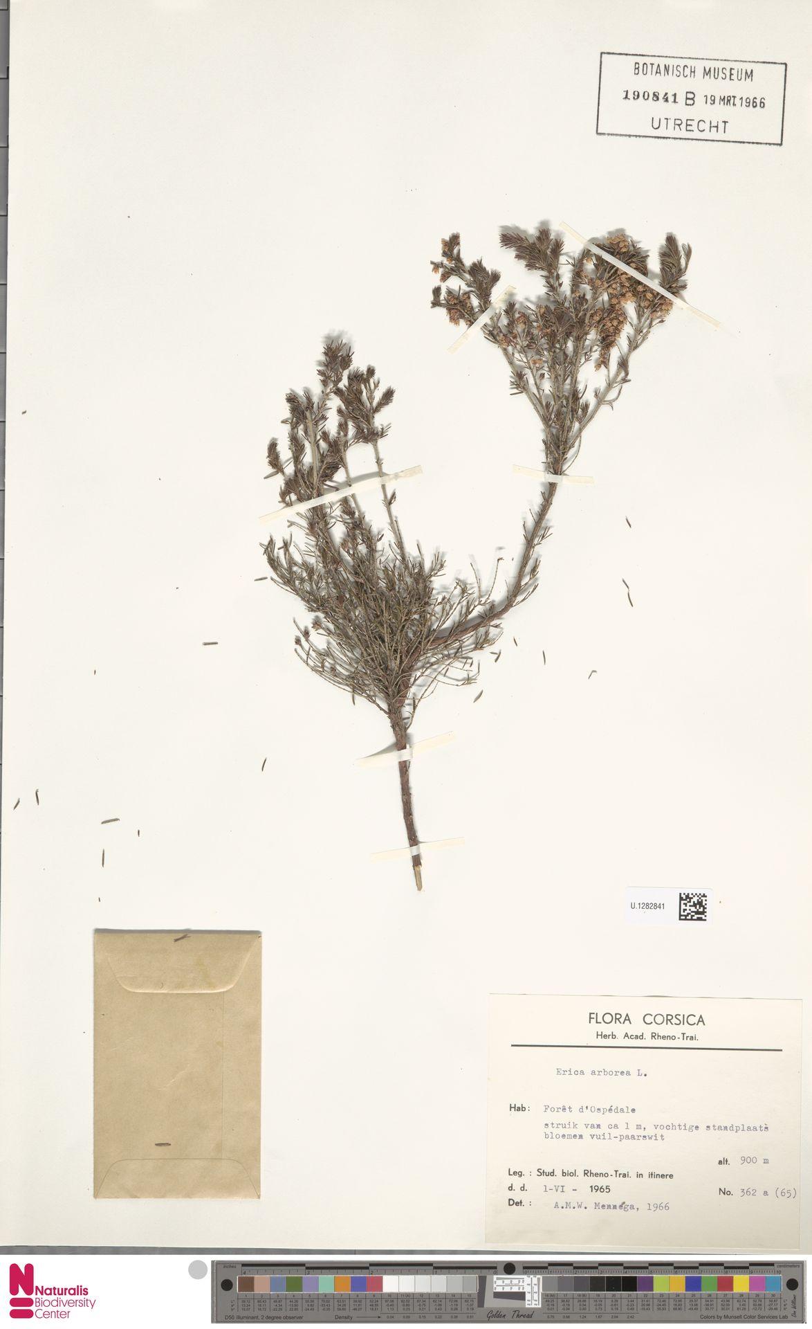 U.1282841   Erica arborea L.