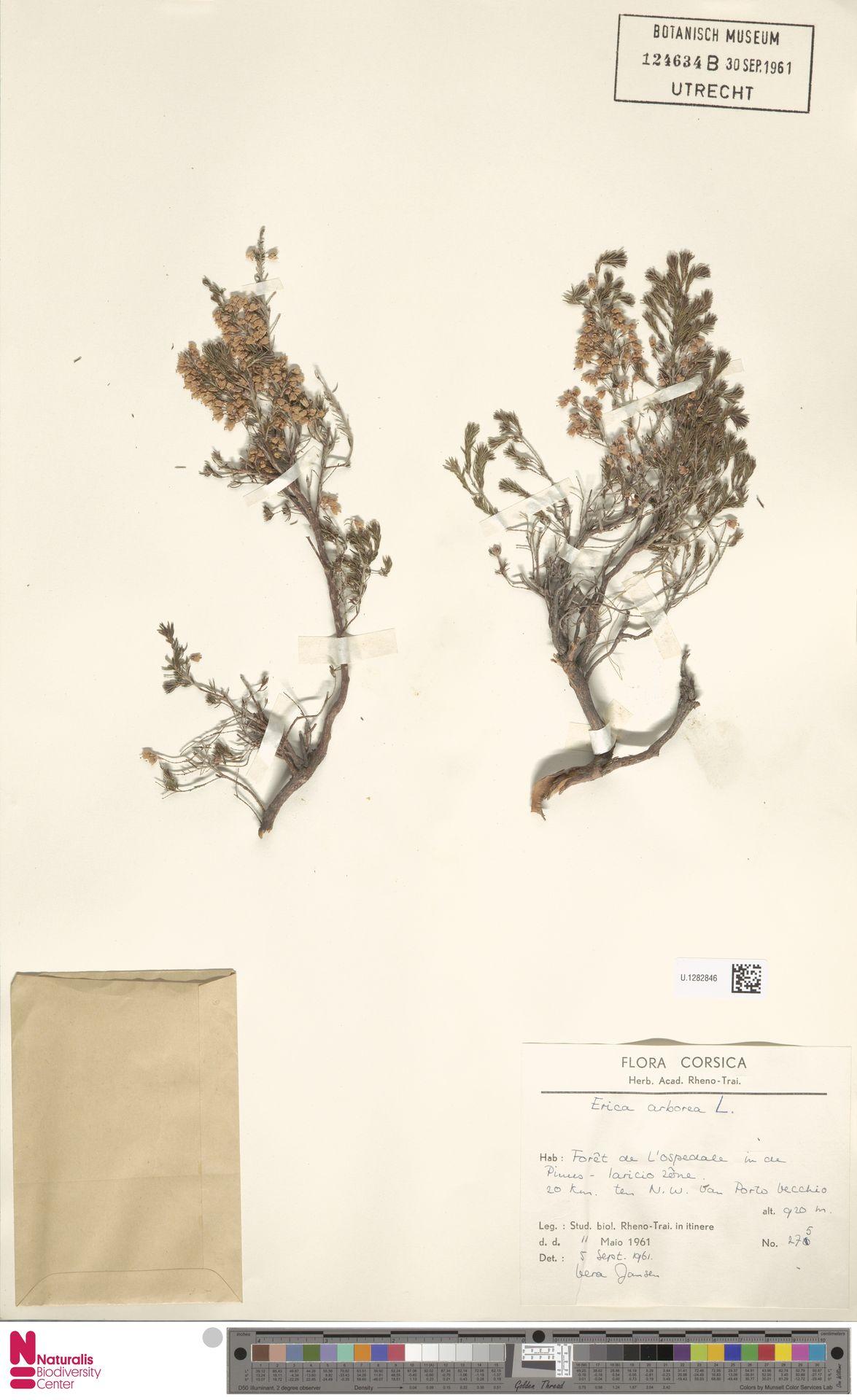 U.1282846 | Erica arborea L.