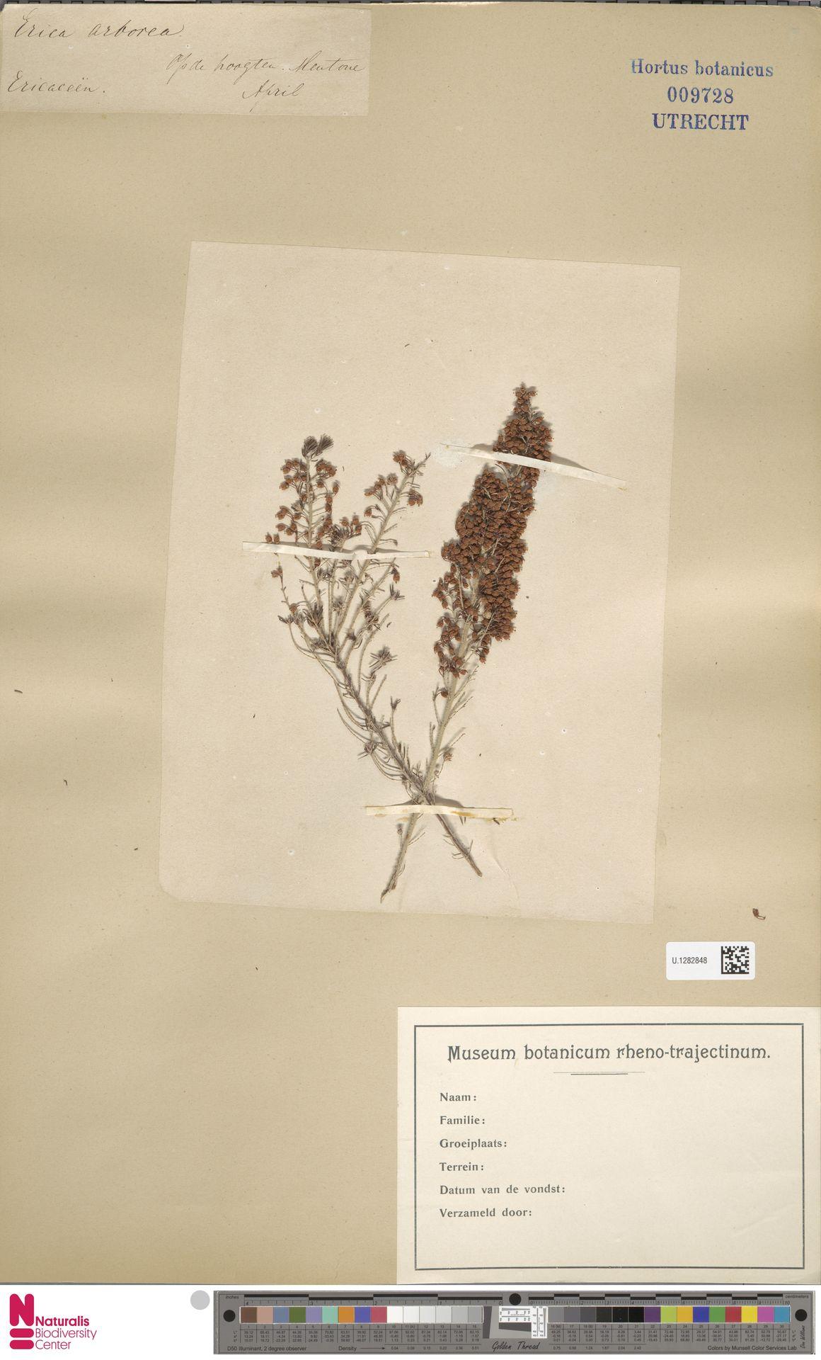 U.1282848 | Erica arborea L.