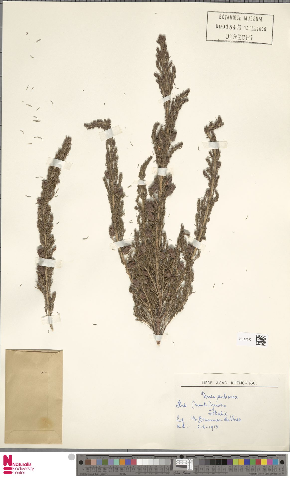 U.1282850   Erica arborea L.