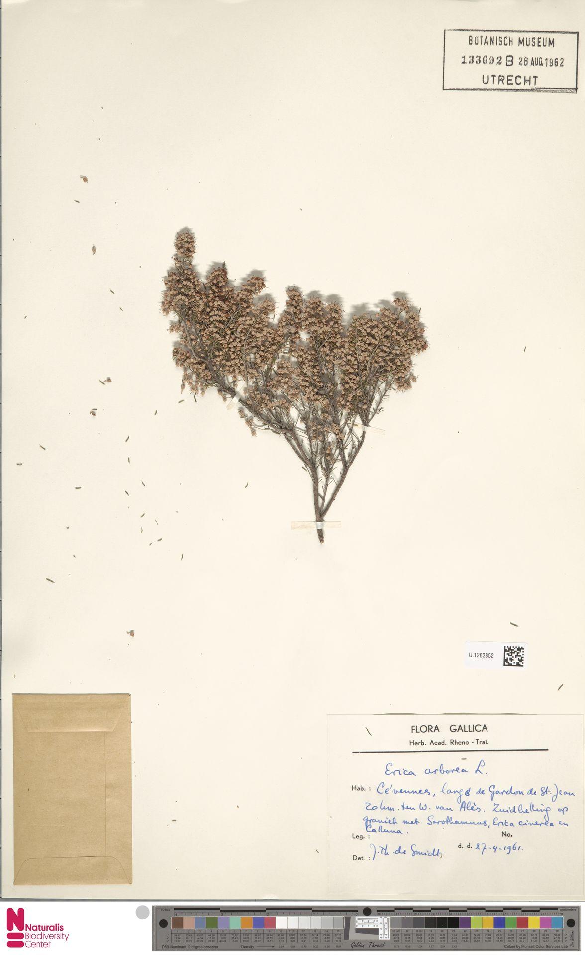 U.1282852 | Erica arborea L.