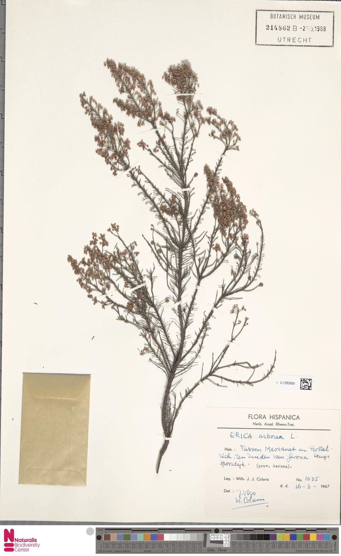 U.1282859 | Erica arborea L.