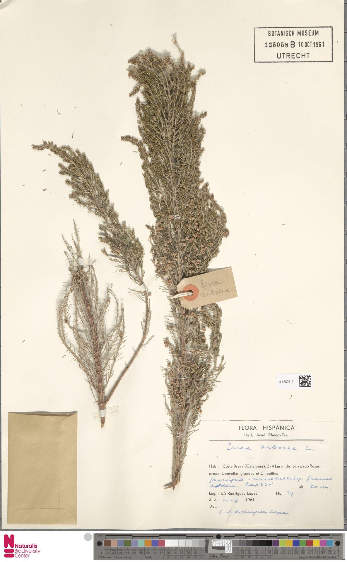 U.1282911 | Erica arborea L.