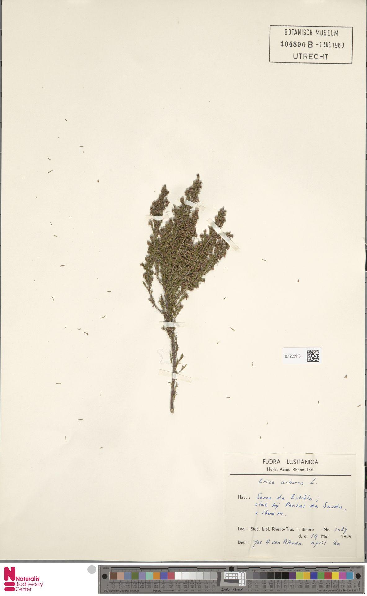 U.1282913 | Erica arborea L.