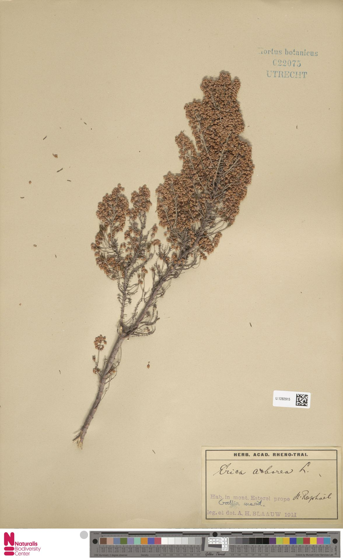 U.1282915   Erica arborea L.