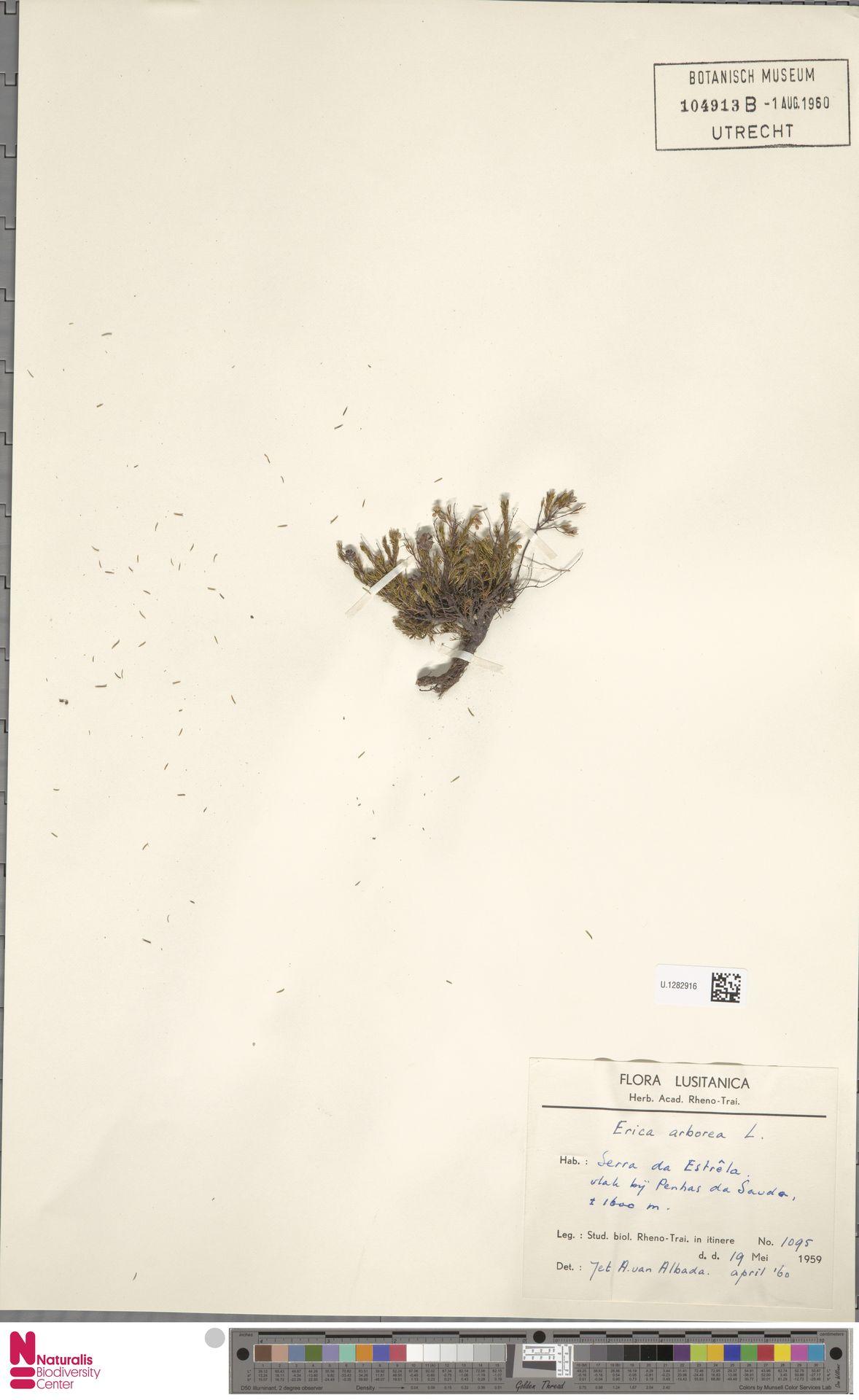U.1282916   Erica arborea L.