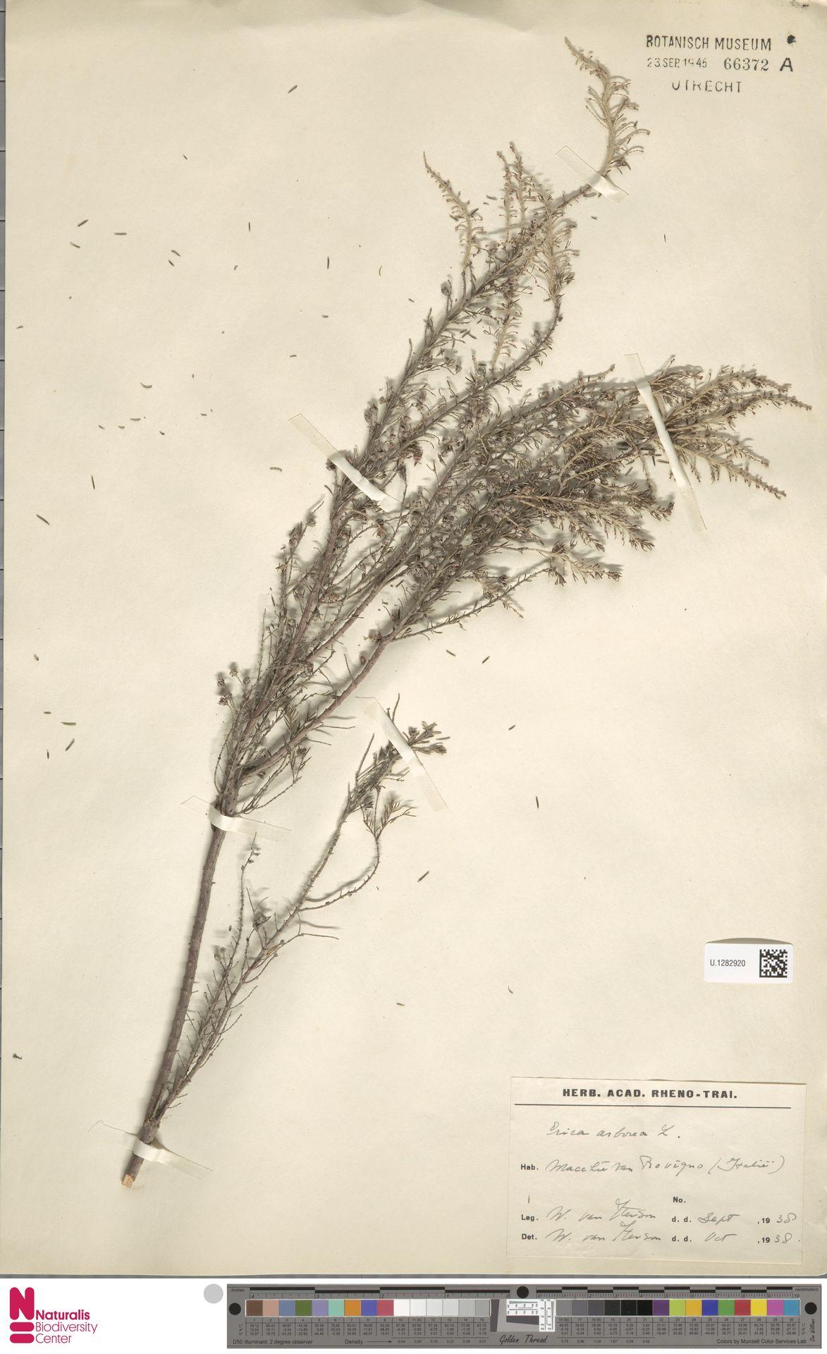 U.1282920 | Erica arborea L.