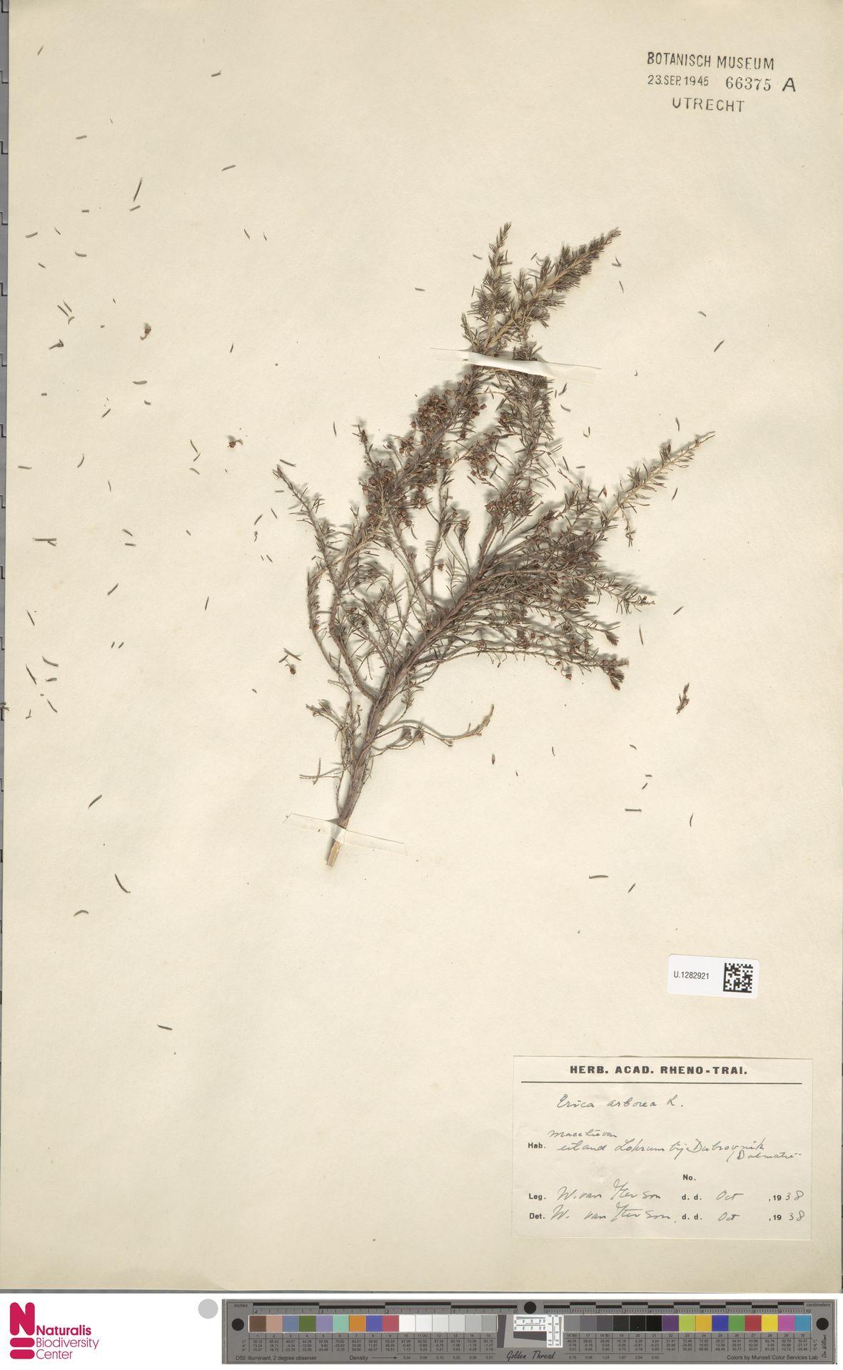U.1282921 | Erica arborea L.