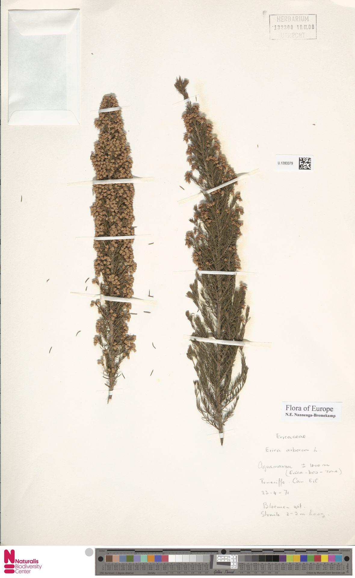 U.1283379   Erica arborea L.