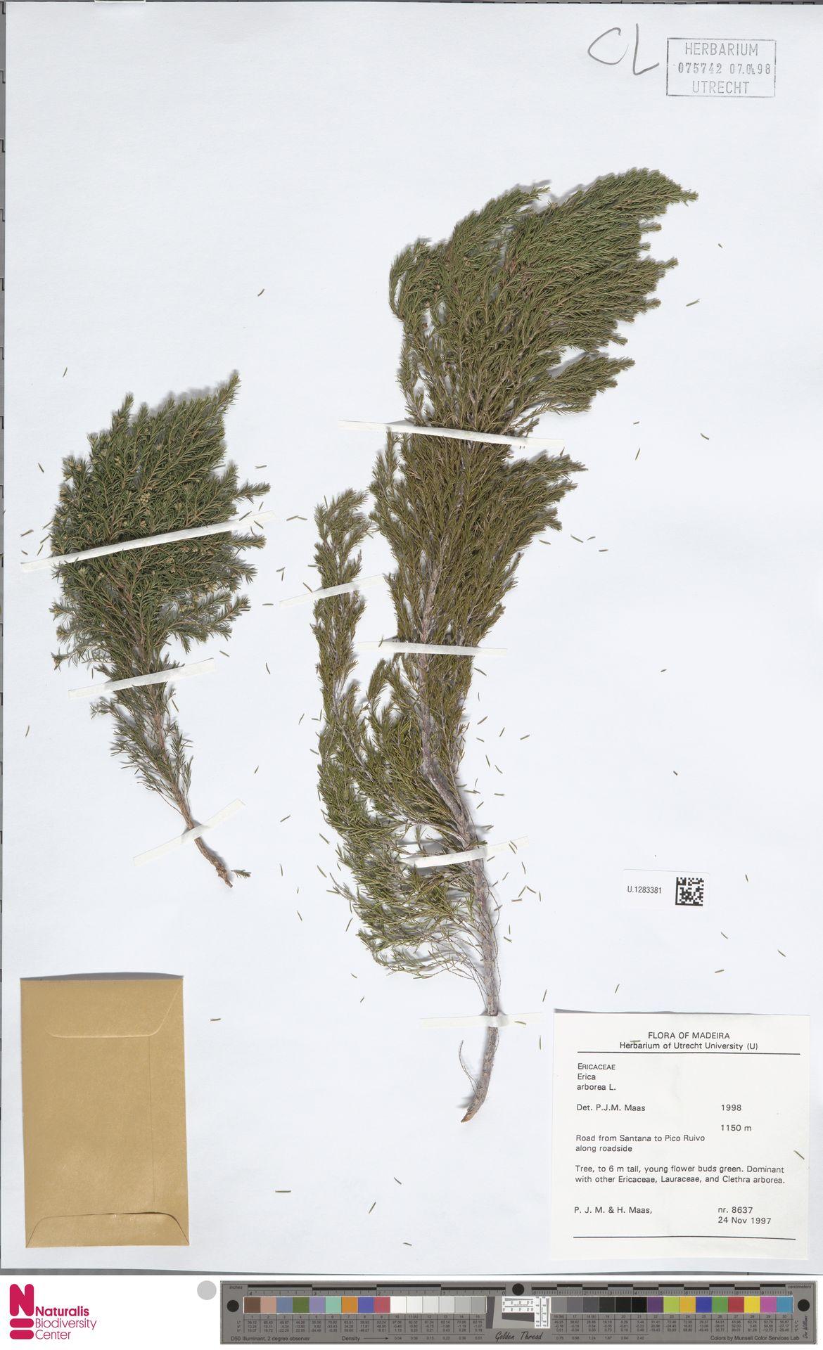 U.1283381 | Erica arborea L.
