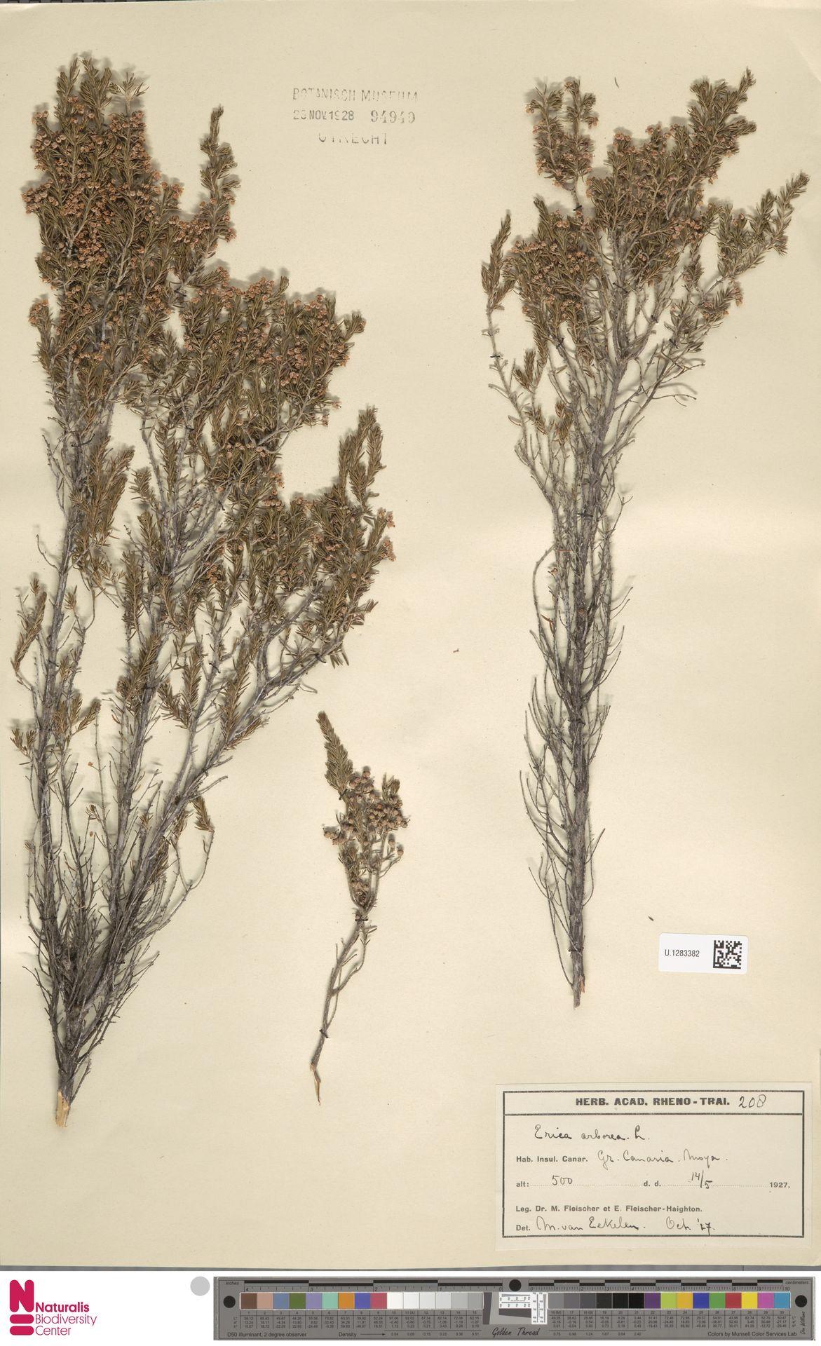 U.1283382   Erica arborea L.
