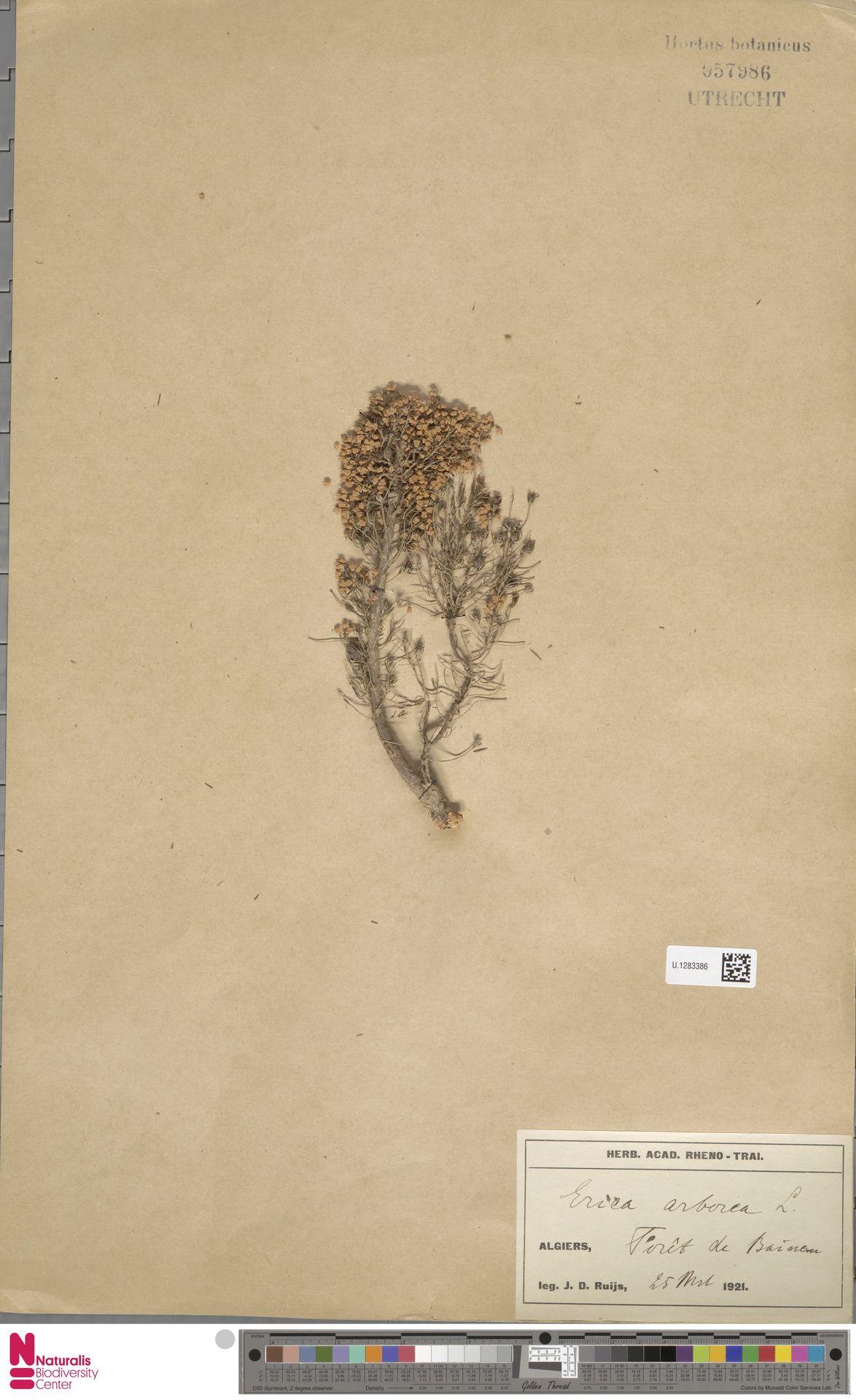 U.1283386 | Erica arborea L.