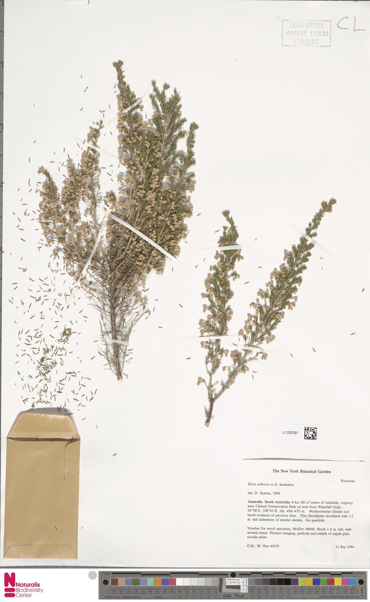 U.1283391   Erica arborea L.