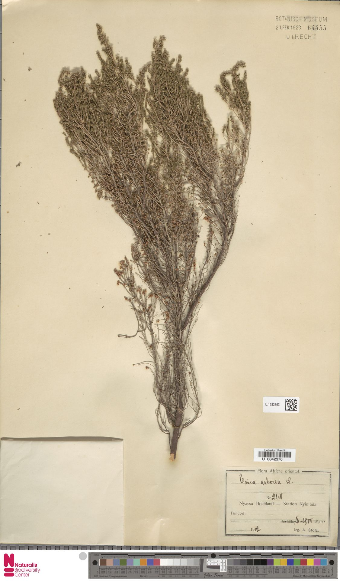 U.1283393 | Erica arborea L.