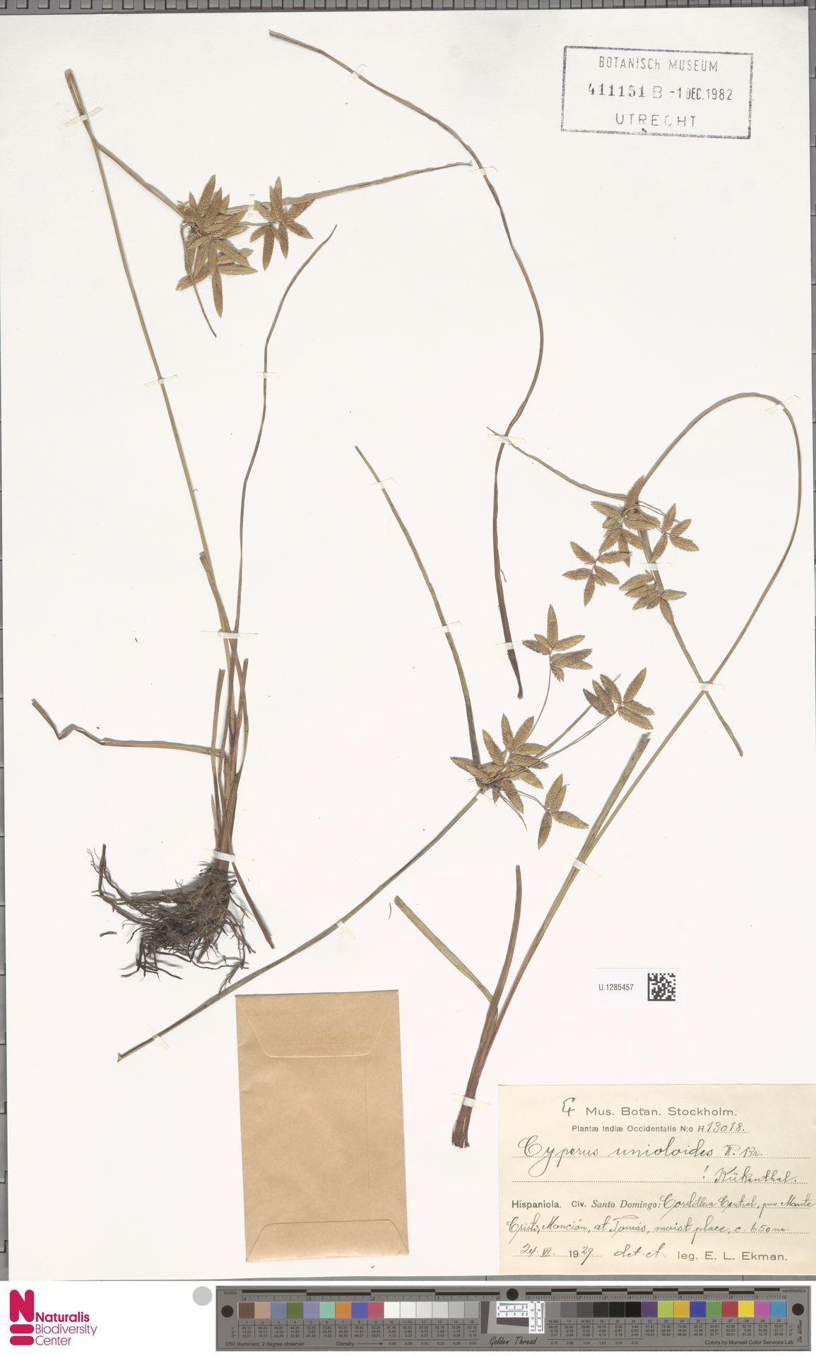U.1285457 | Cyperus unioloides R.Br.