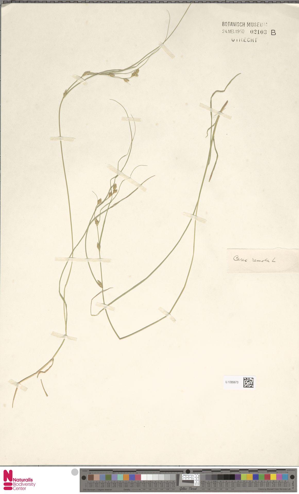 U.1285673 | Carex remota L.