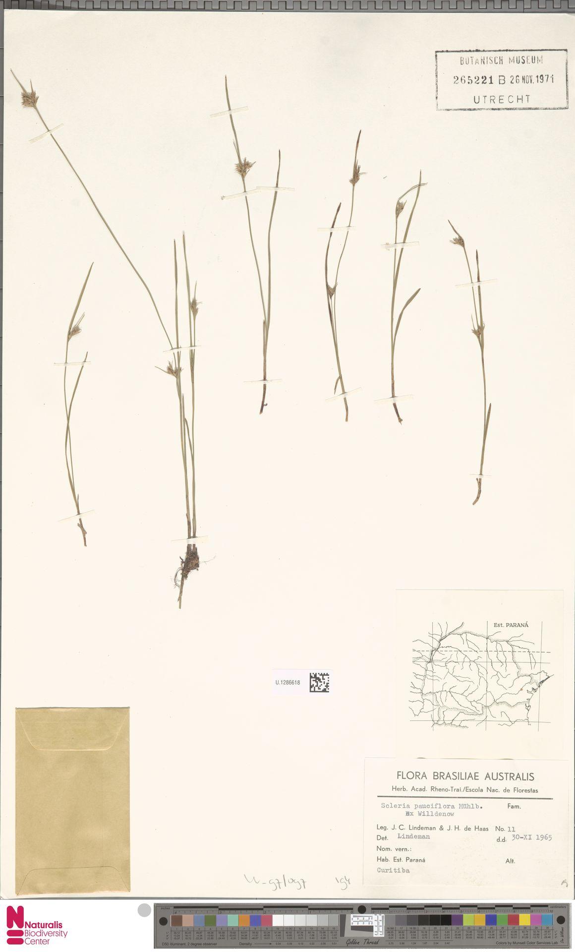 U.1286618 | Scleria pauciflora Muhl. ex Willd.
