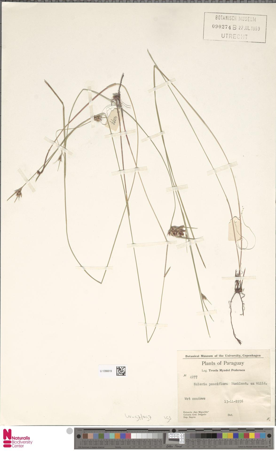 U.1286619 | Scleria pauciflora Muhl. ex Willd.