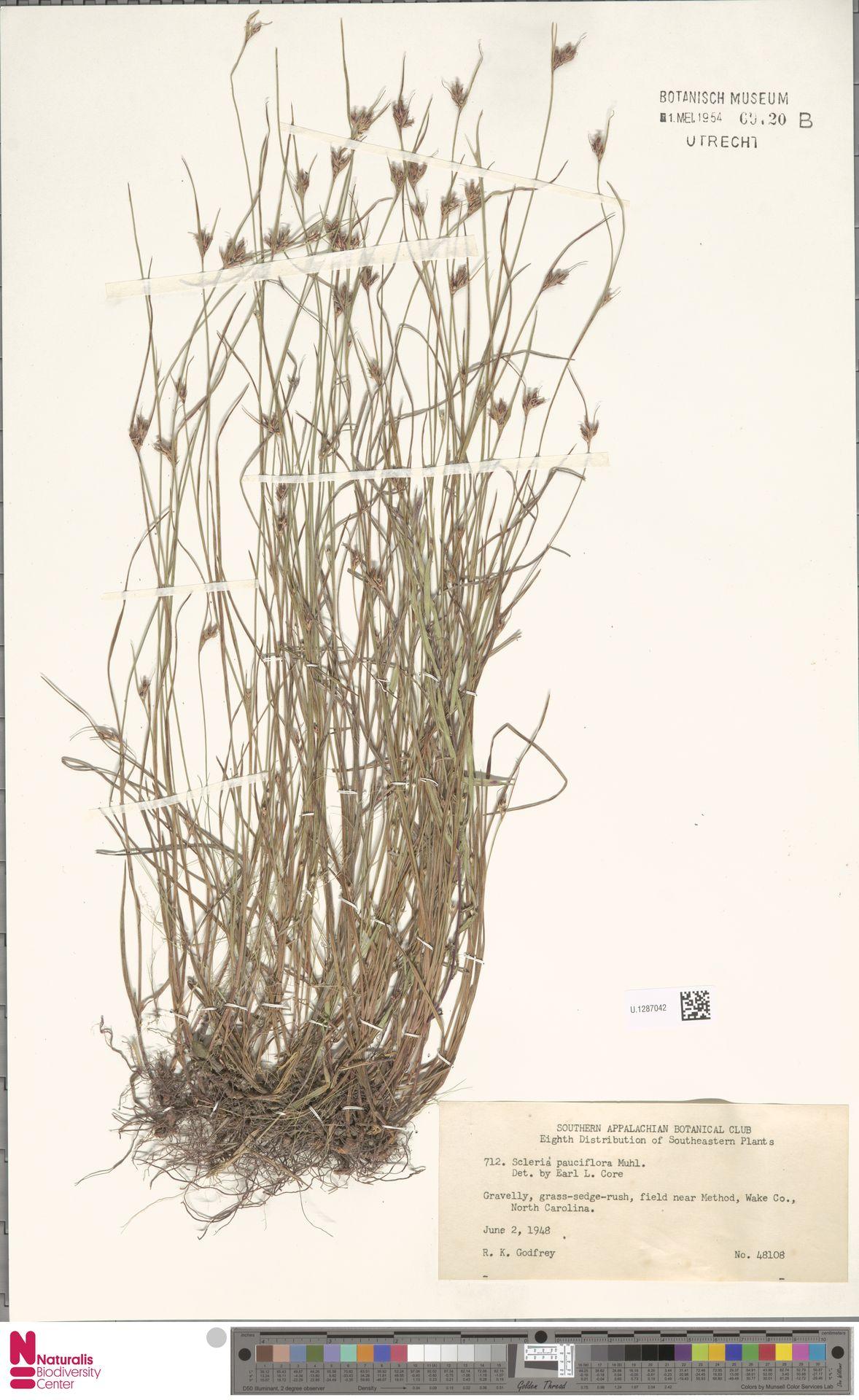 U.1287042 | Scleria pauciflora Muhl. ex Willd.