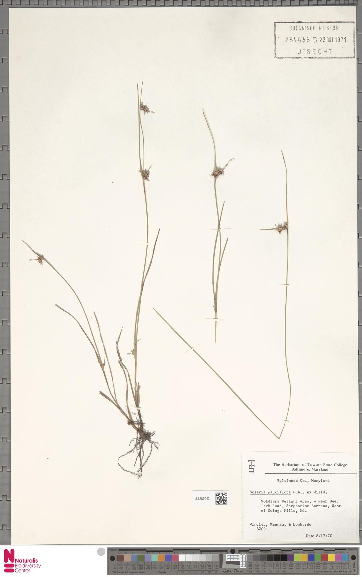 U.1287043 | Scleria pauciflora Muhl. ex Willd.