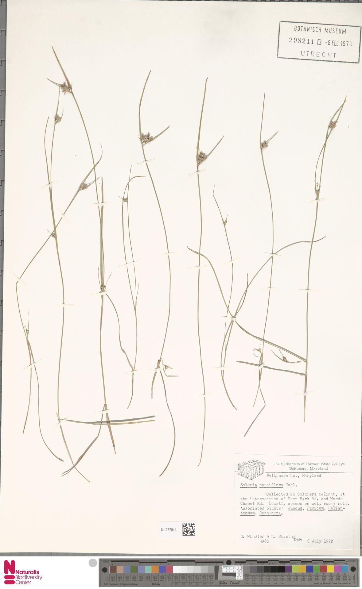 U.1287044 | Scleria pauciflora Muhl. ex Willd.