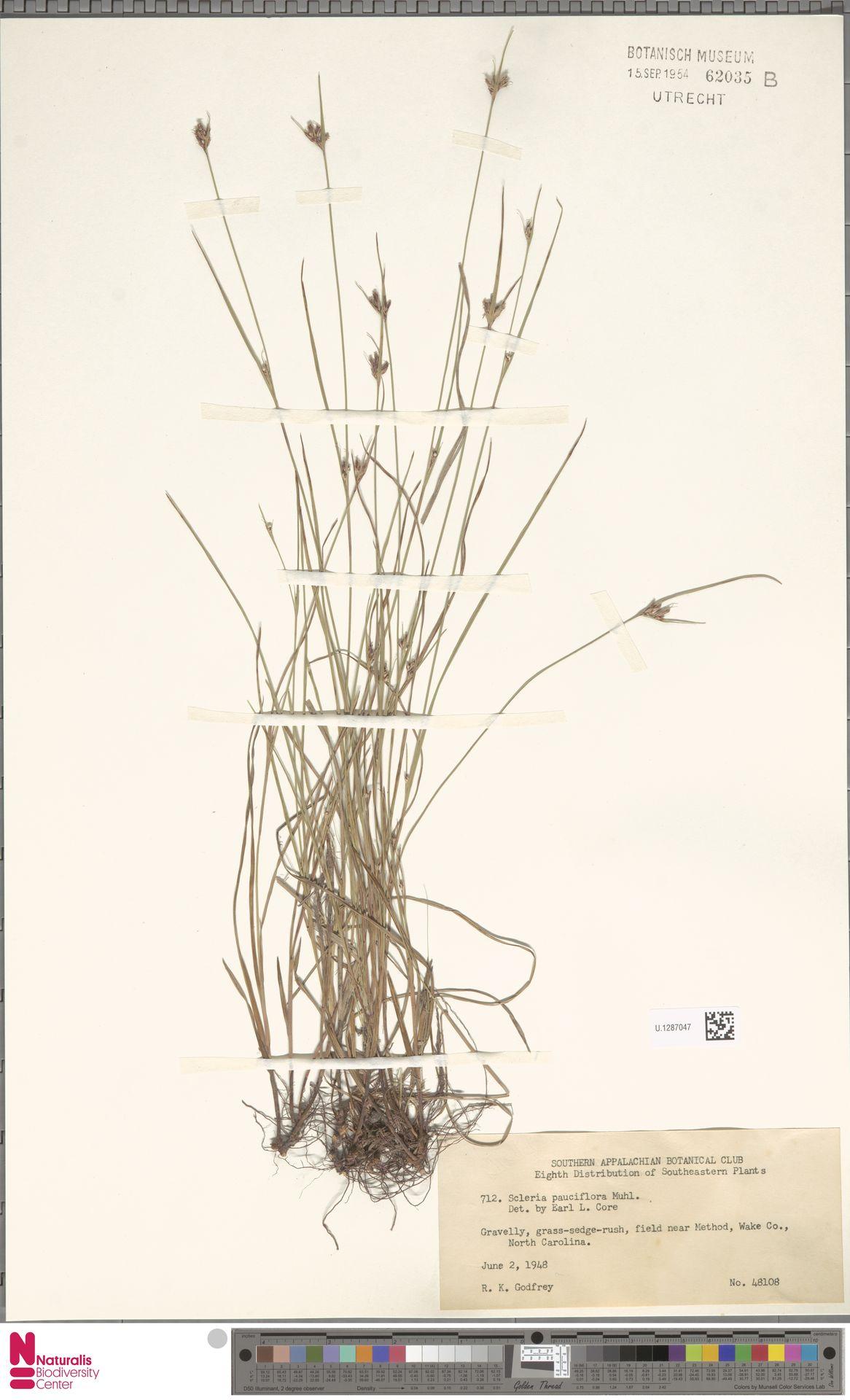 U.1287047 | Scleria pauciflora Muhl. ex Willd.